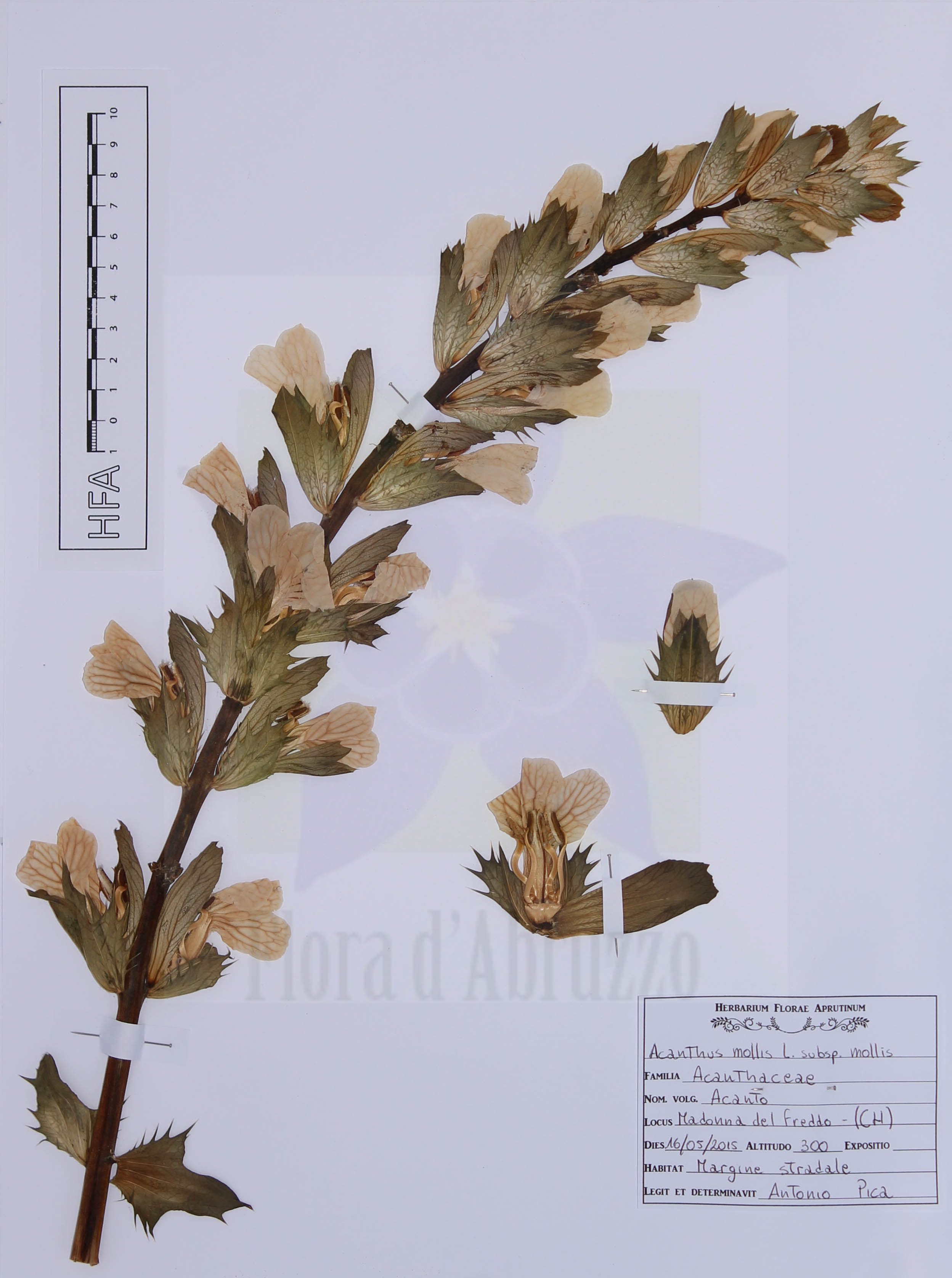 Acanthus mollis L. subsp. mollis
