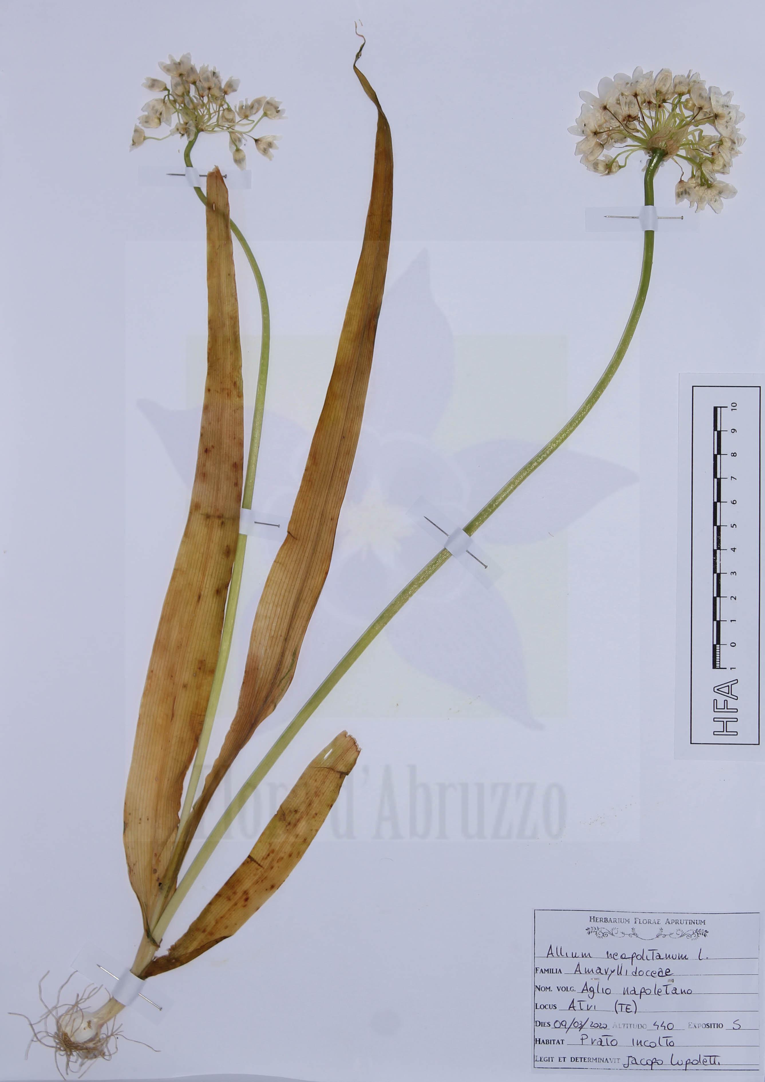 Allium neapolitanum L.