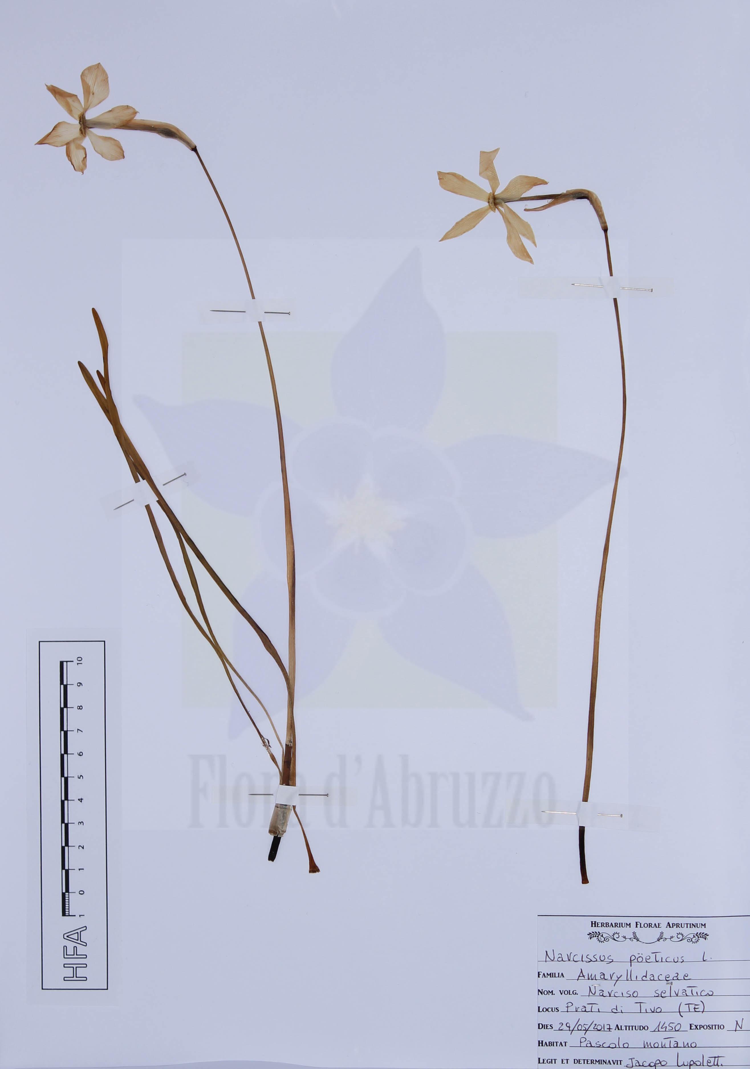 Narcissus poeticus L