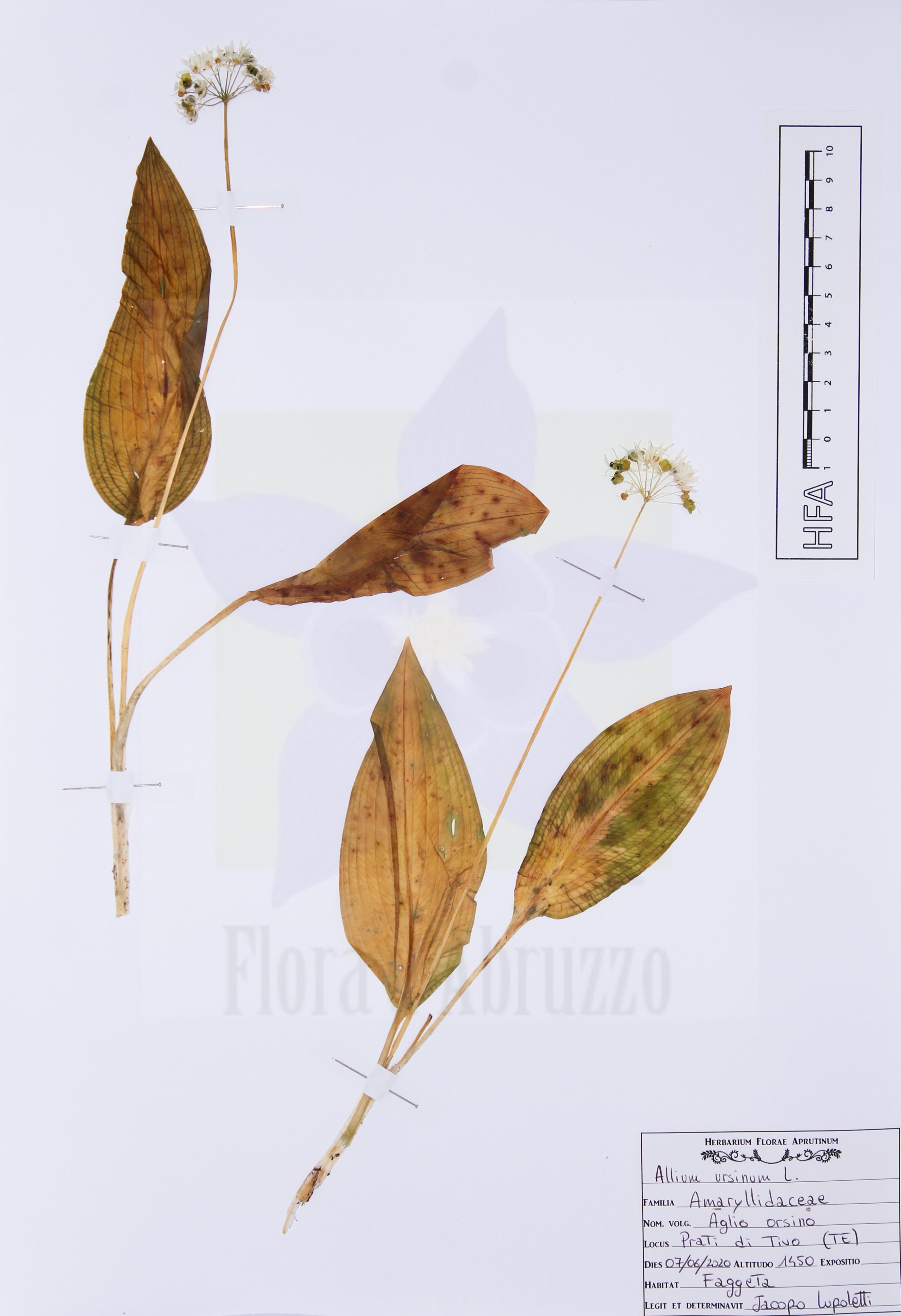 Allium ursinumL.