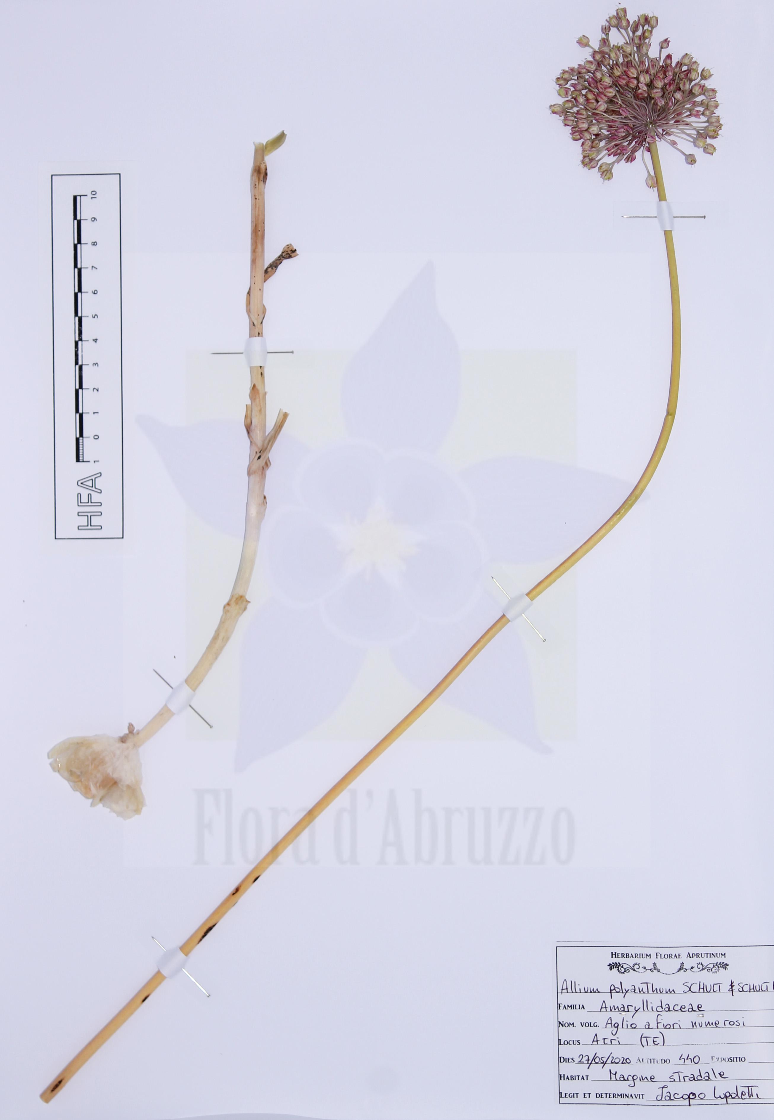 Allium polyanthumSchult. & Schult. f.