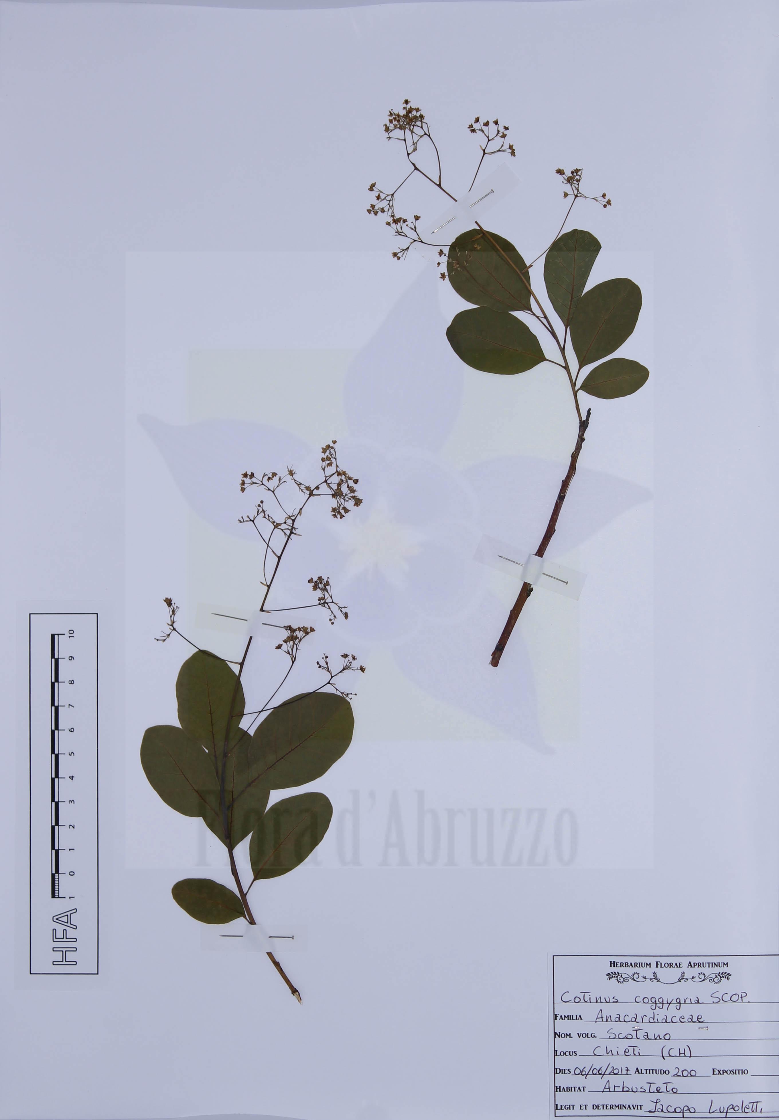 Cotinus coggygria Scop.