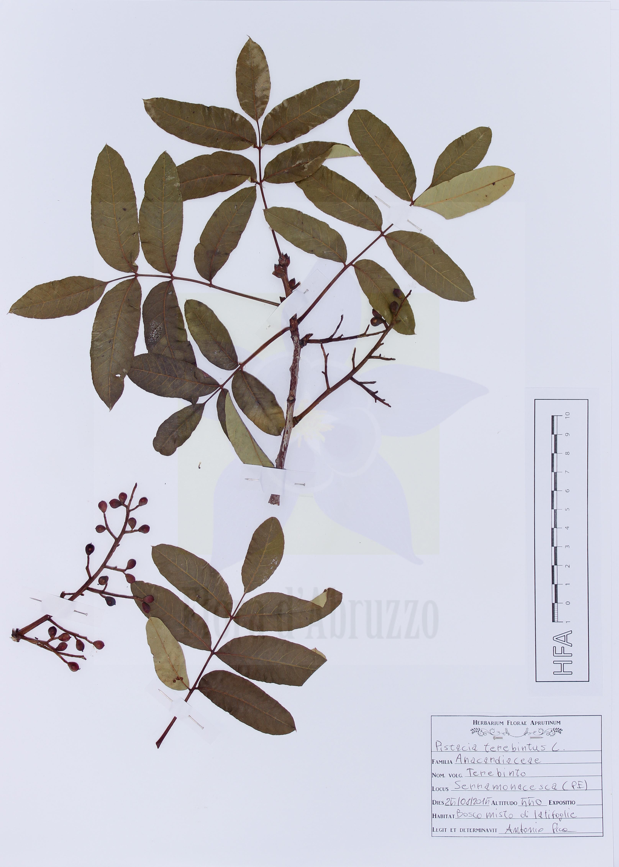 Pistacia terebintus L.