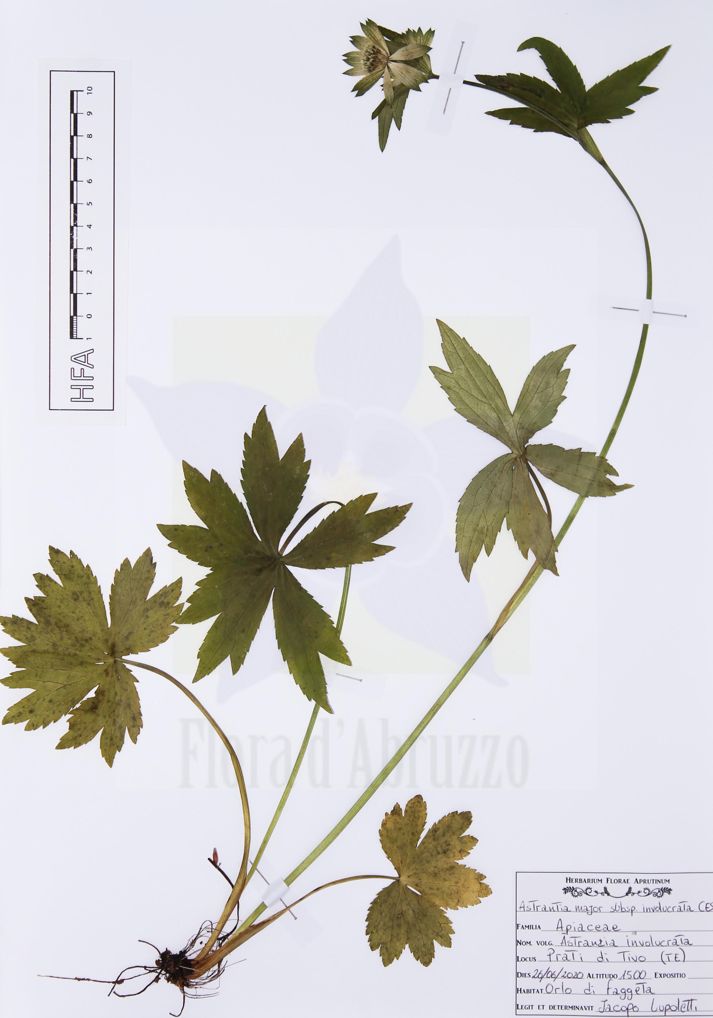 Astrantia major subsp. involucrata (W.D.J. Koch) Ces.