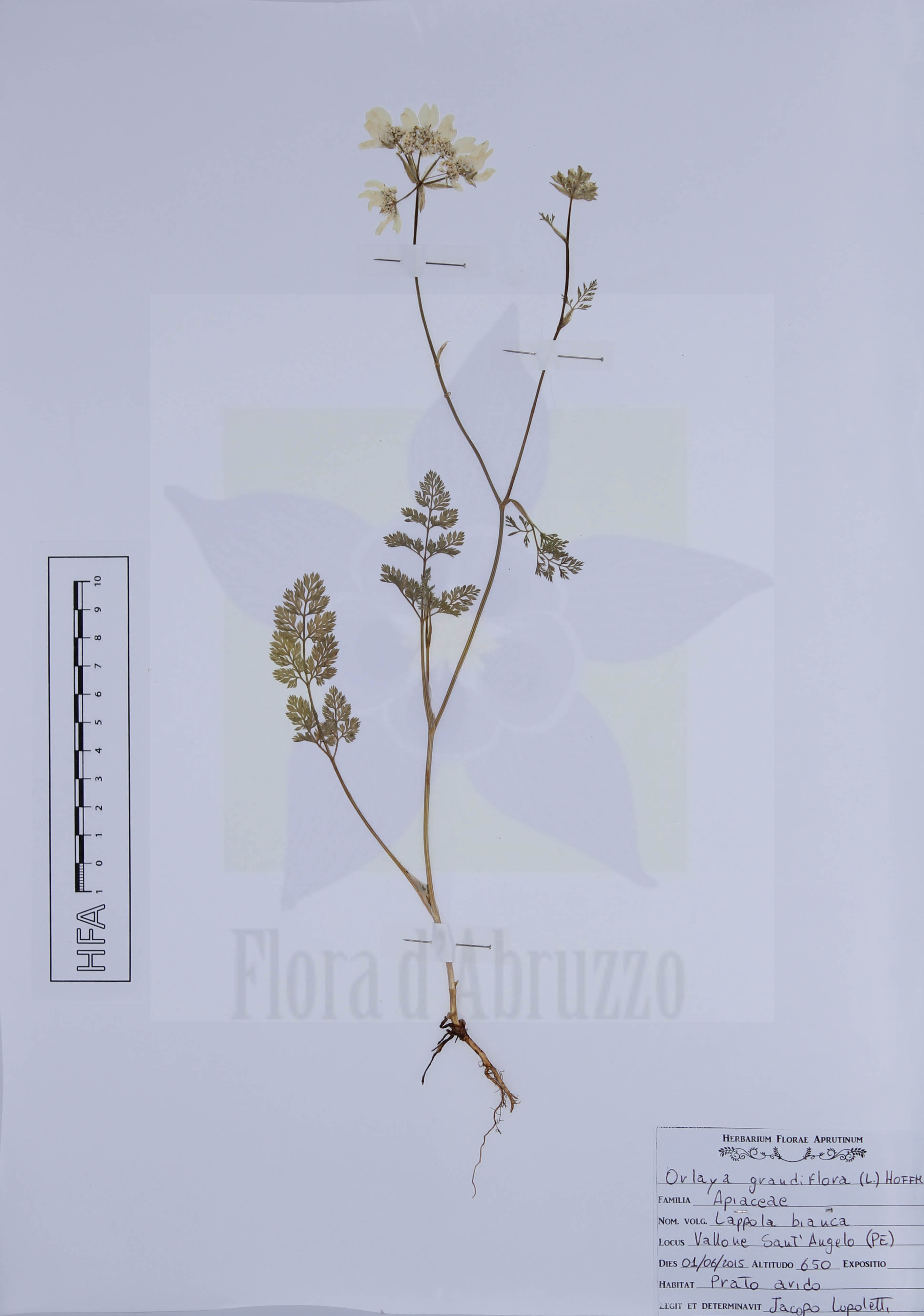 Orlaya grandiflora (L.) Hoffm