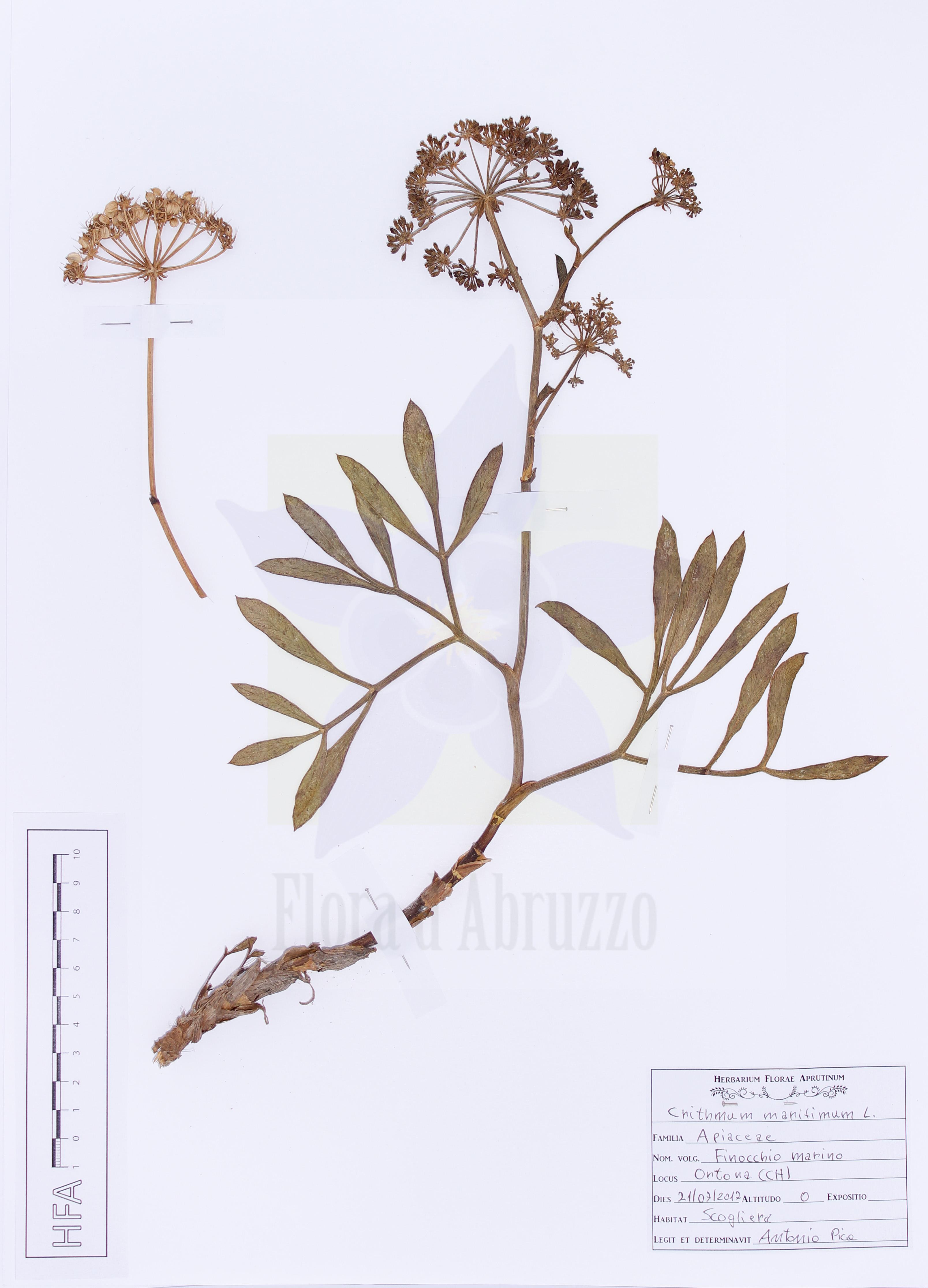 Crithmum maritimum L.