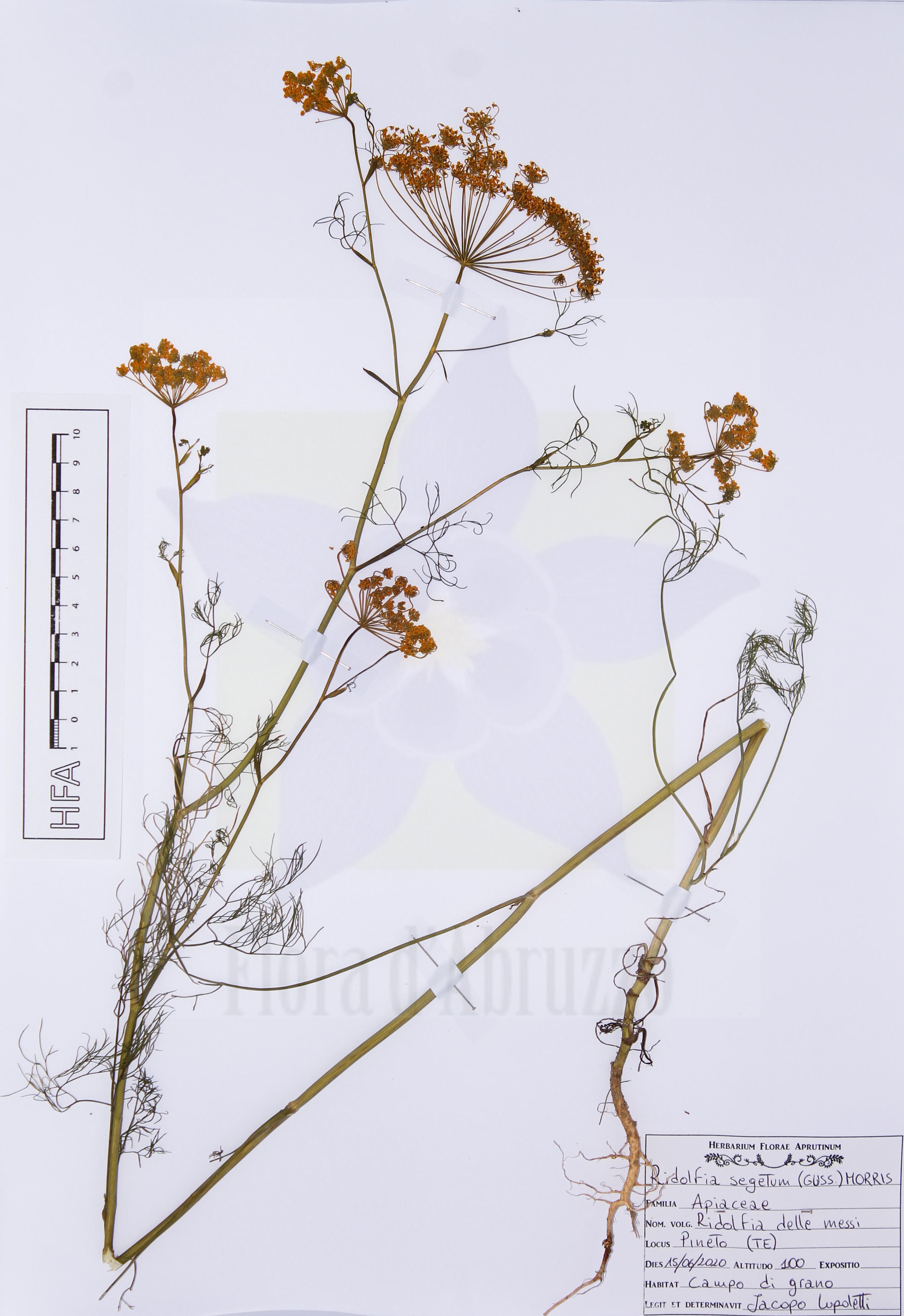 Ridolfia segetum(Guss.) Moris