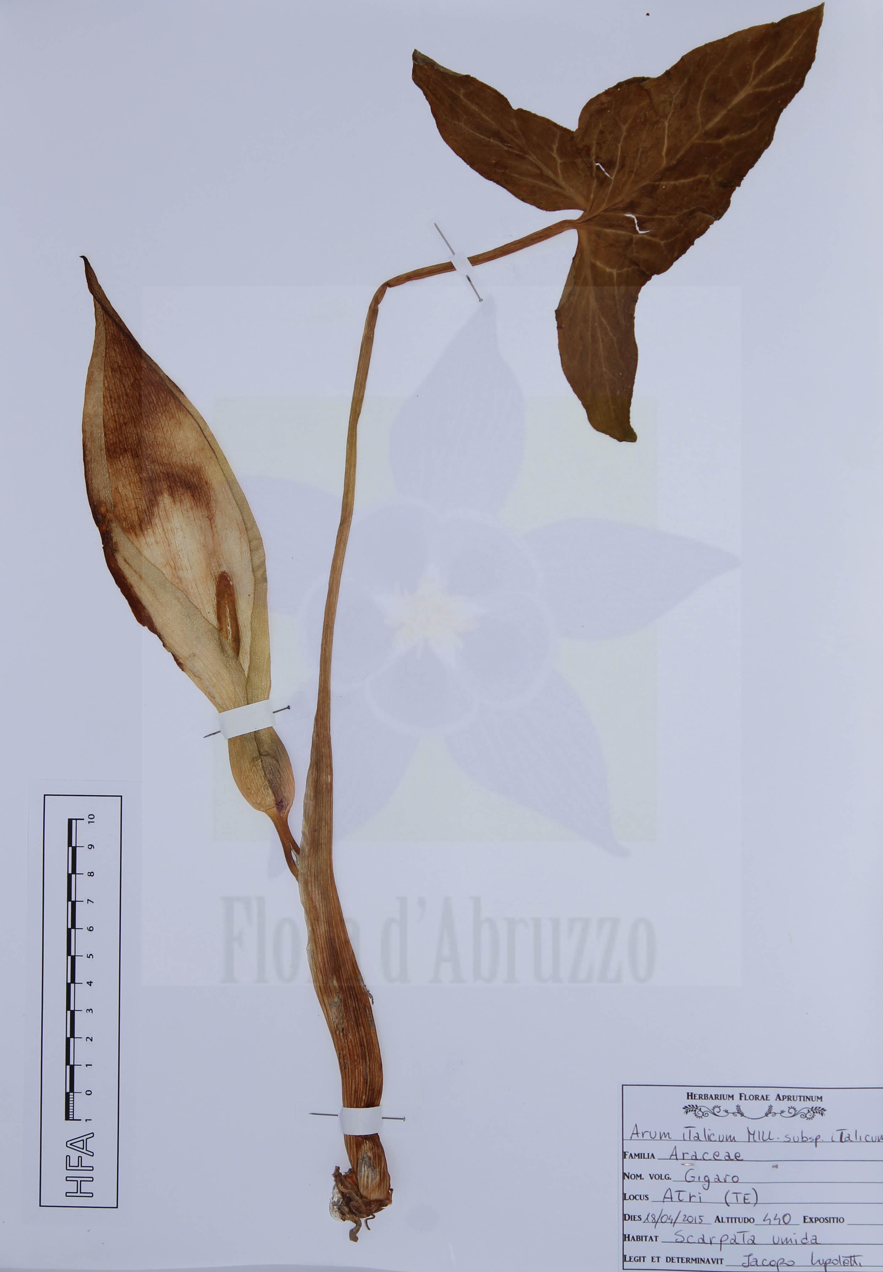 Arum italicumMill. subsp.italicum