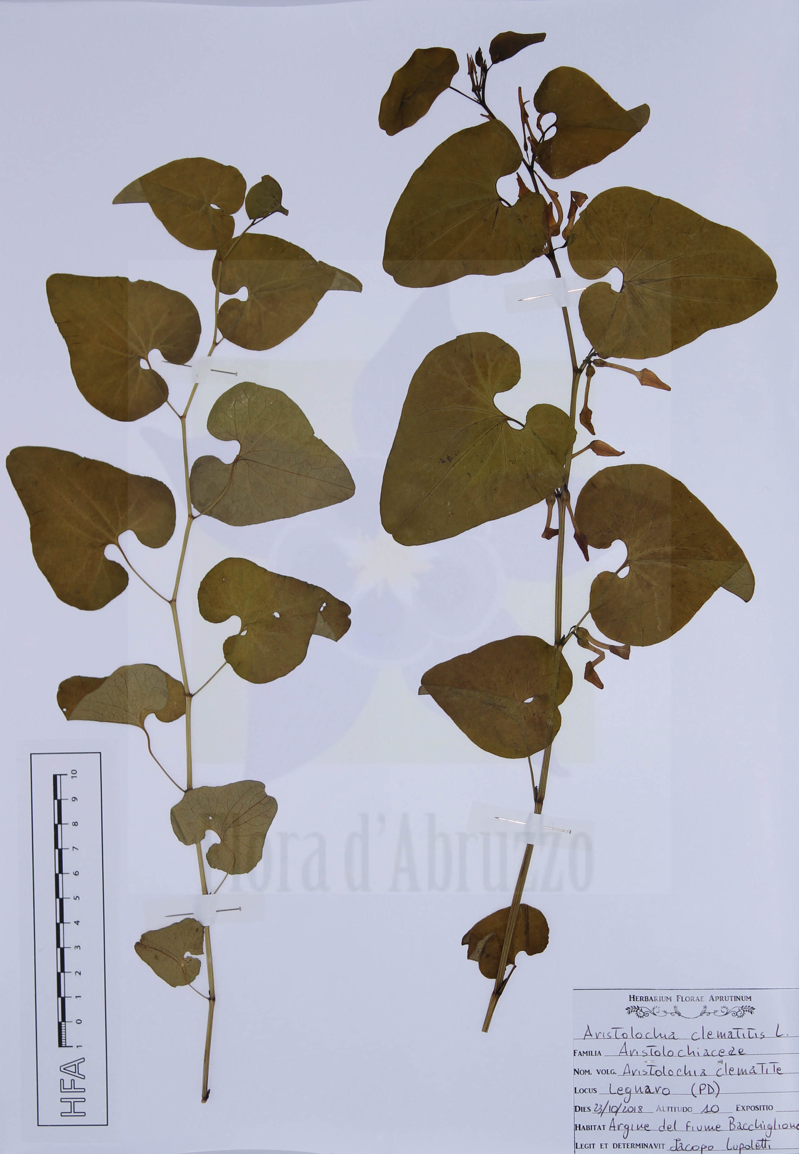 Aristolochia clematitis  L.