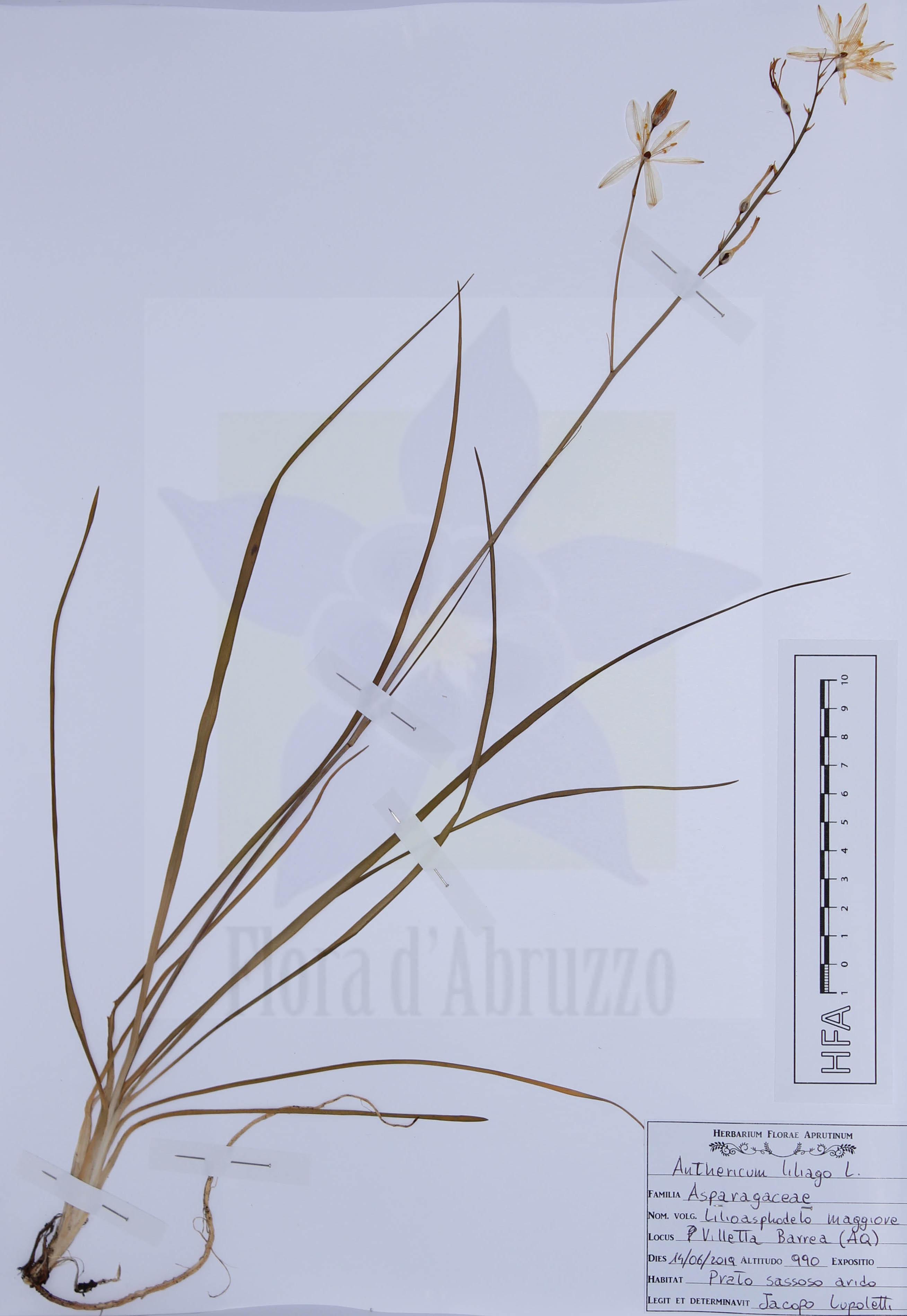 Anthericum liliago L.