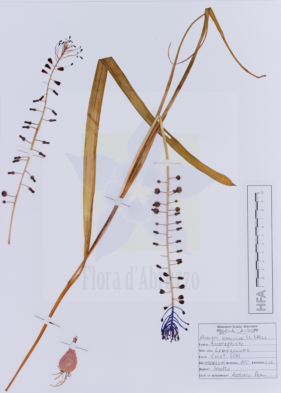 Muscari comosum(L.) Mill.