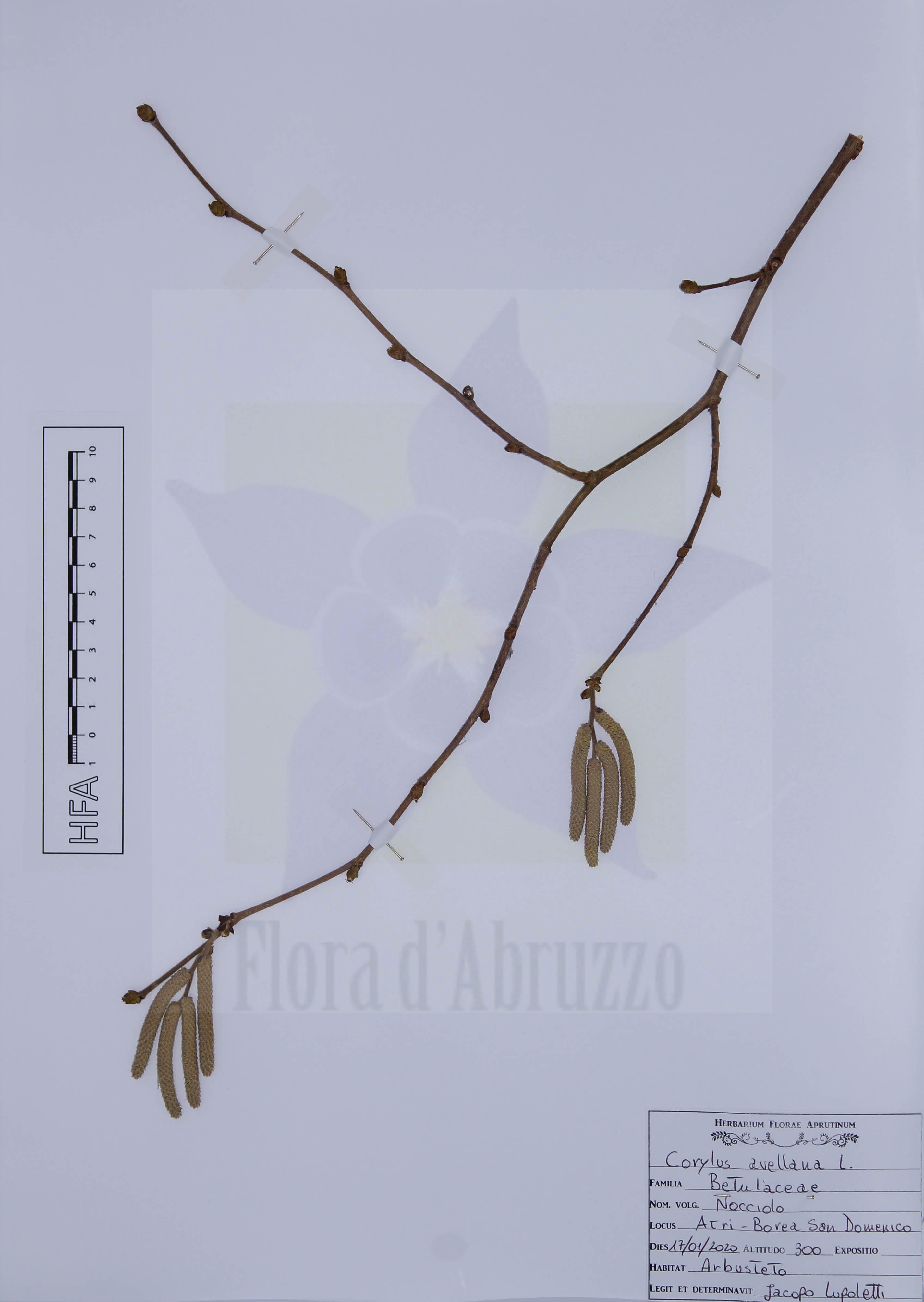 Corylus avellana L.
