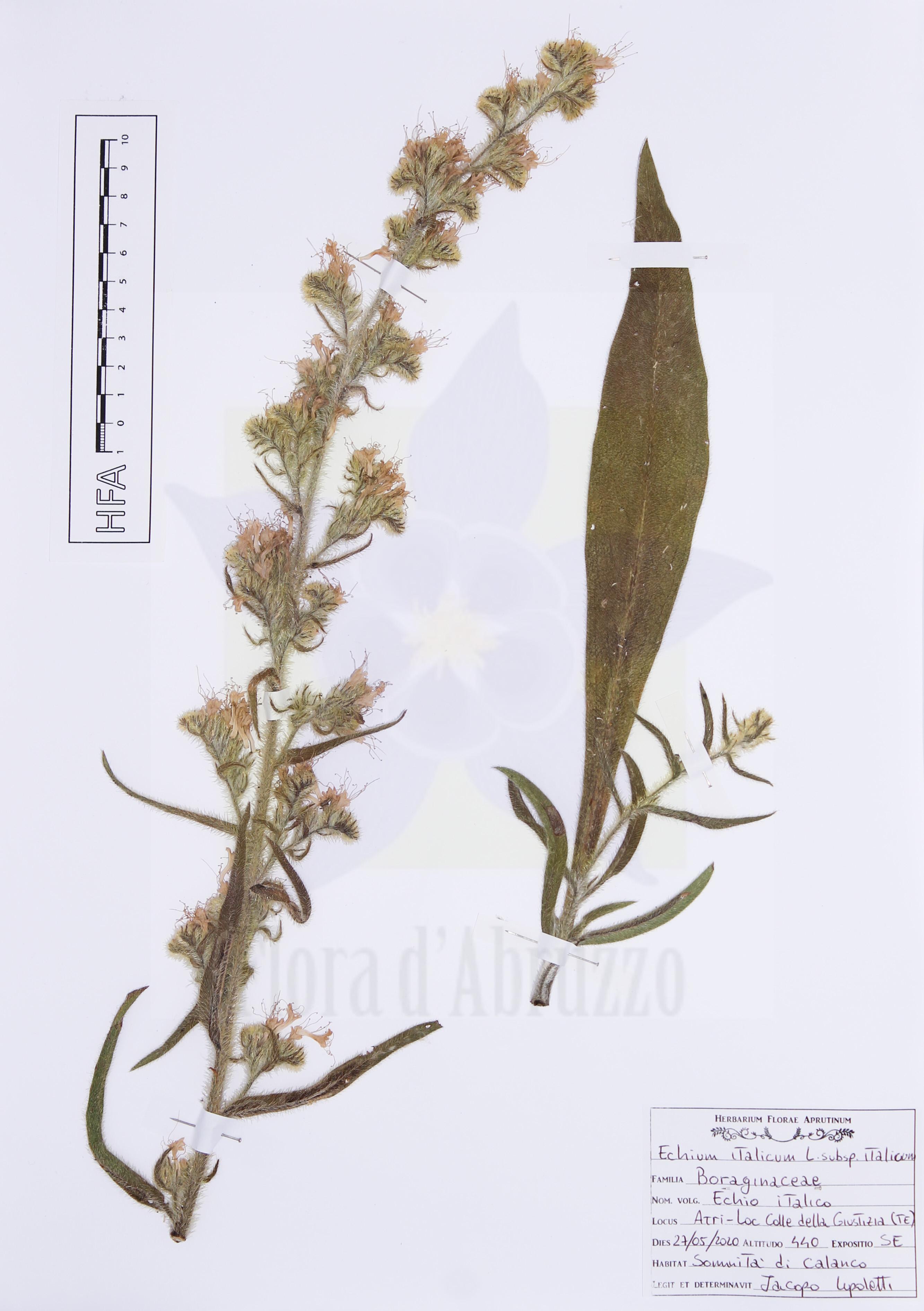 Echium italicumL. subsp.italicum