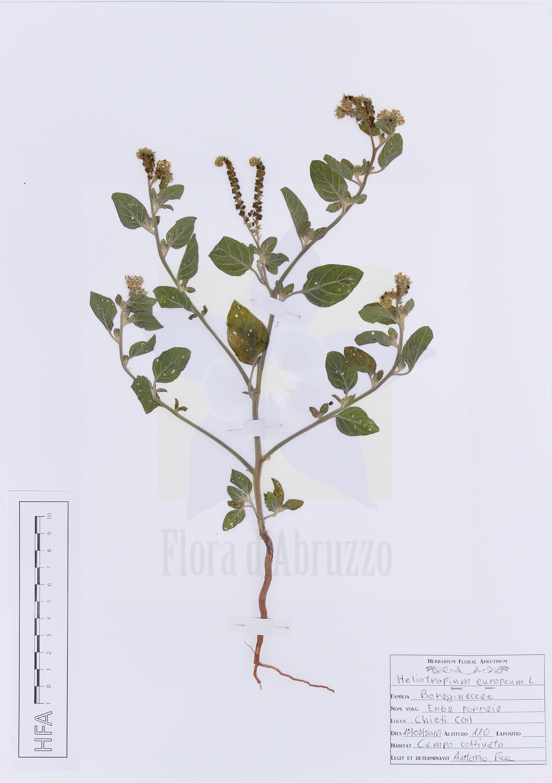 Heliotropium europeum L.