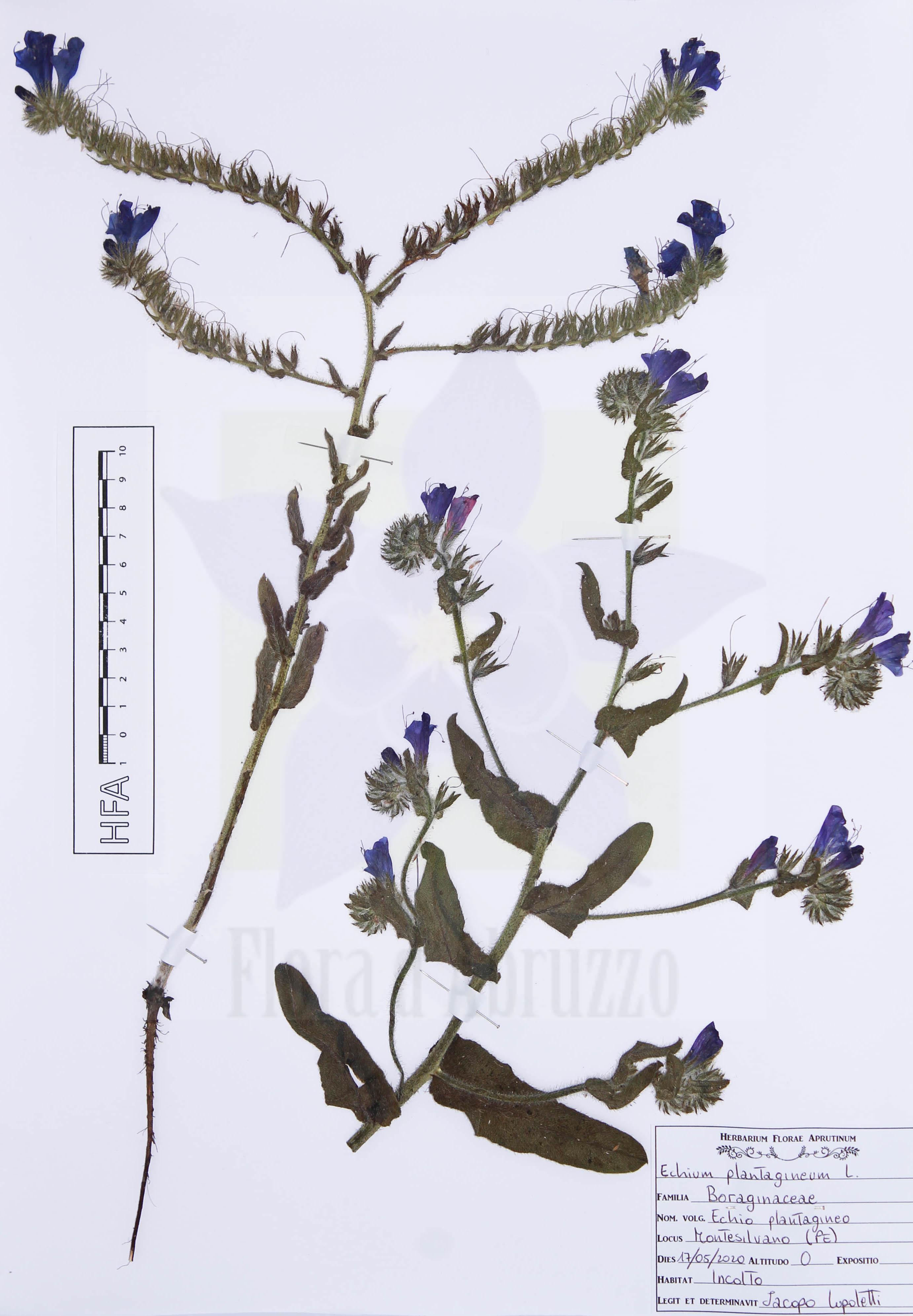 Echium plantaginetum L.