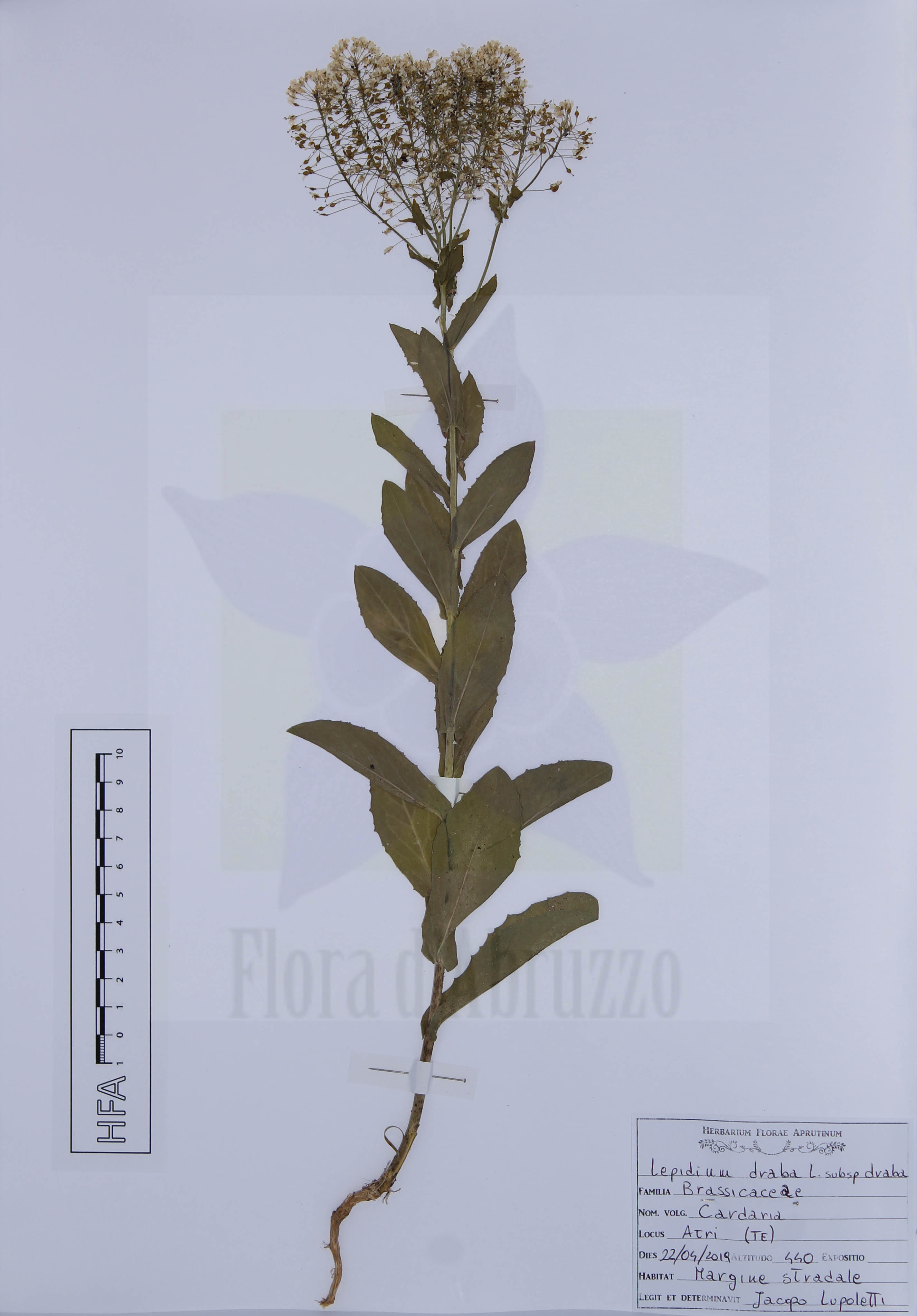 Lepidium draba L. subsp. draba