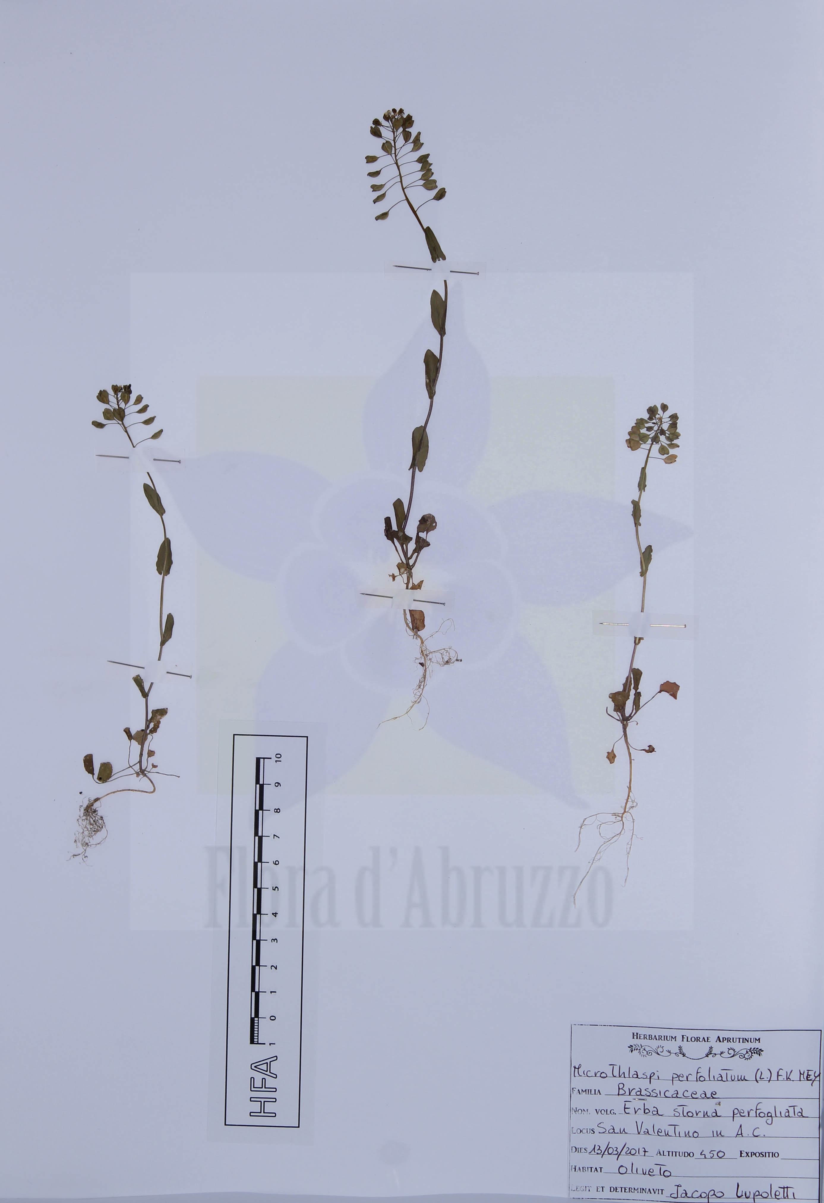 Microthlaspi perfoliatum(L.) F.K. Mey.