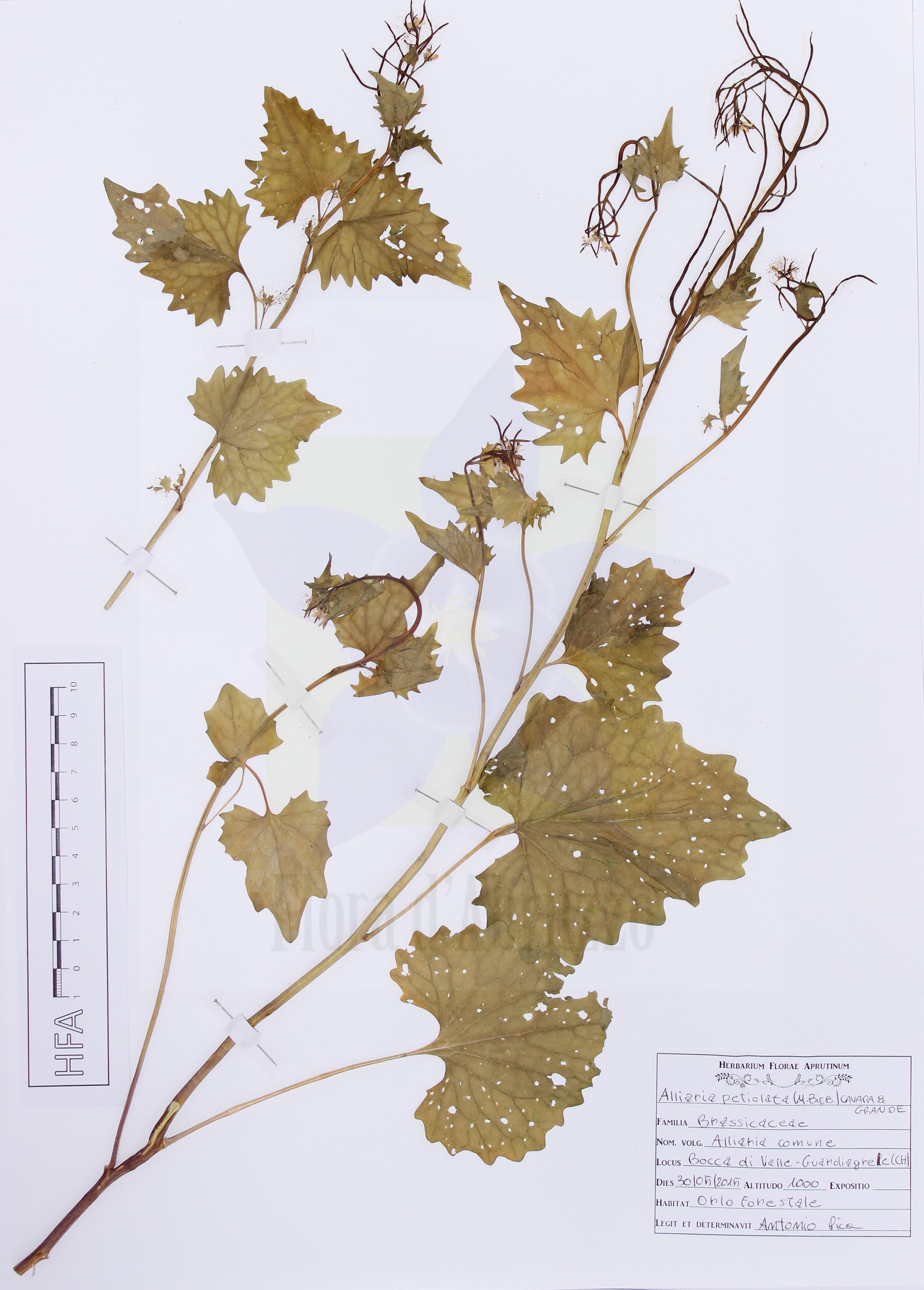 Alliaria petiolata(M. Bieb.) Cavara & Grande