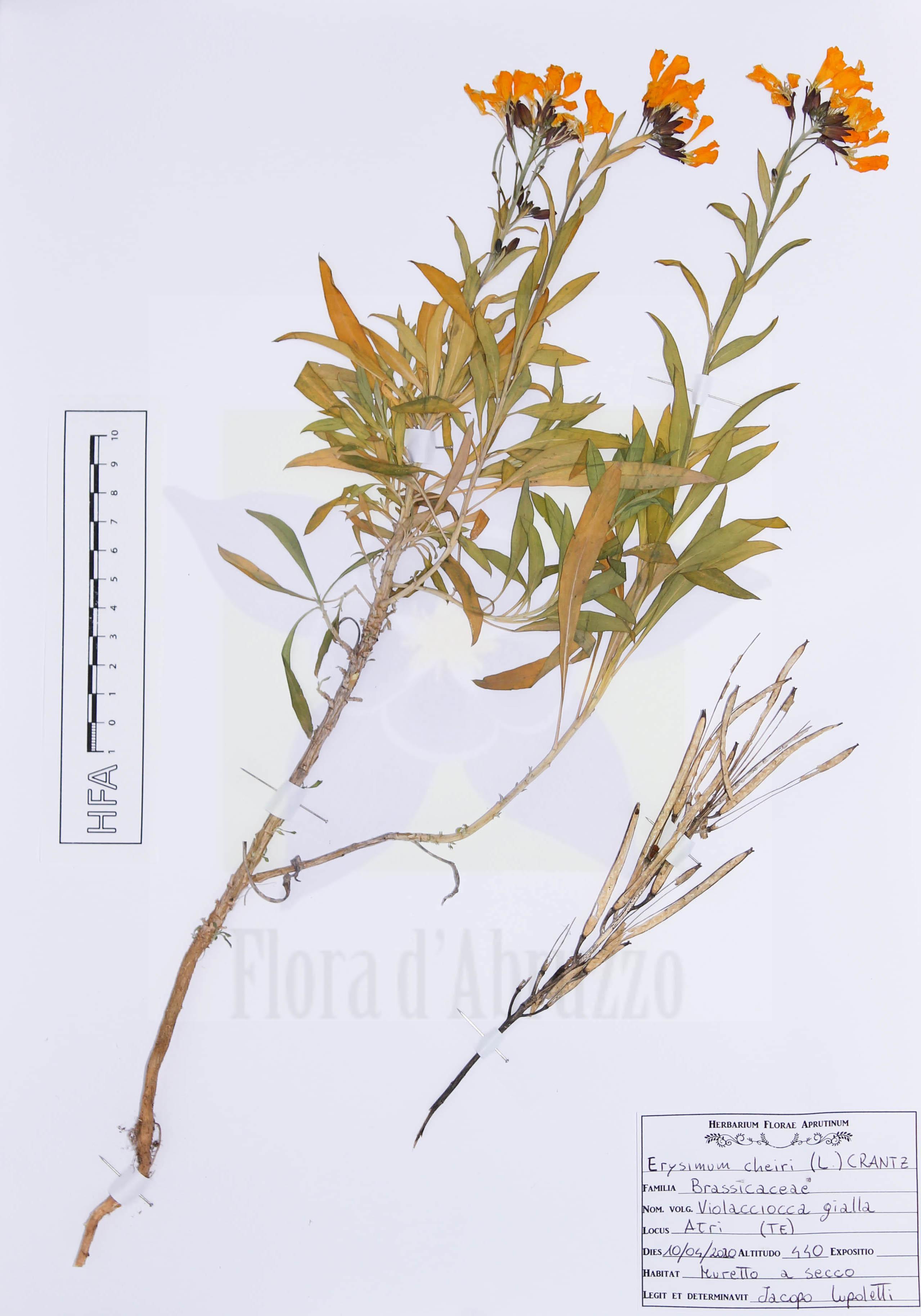 Erysimum cheiri(L.) Crantz