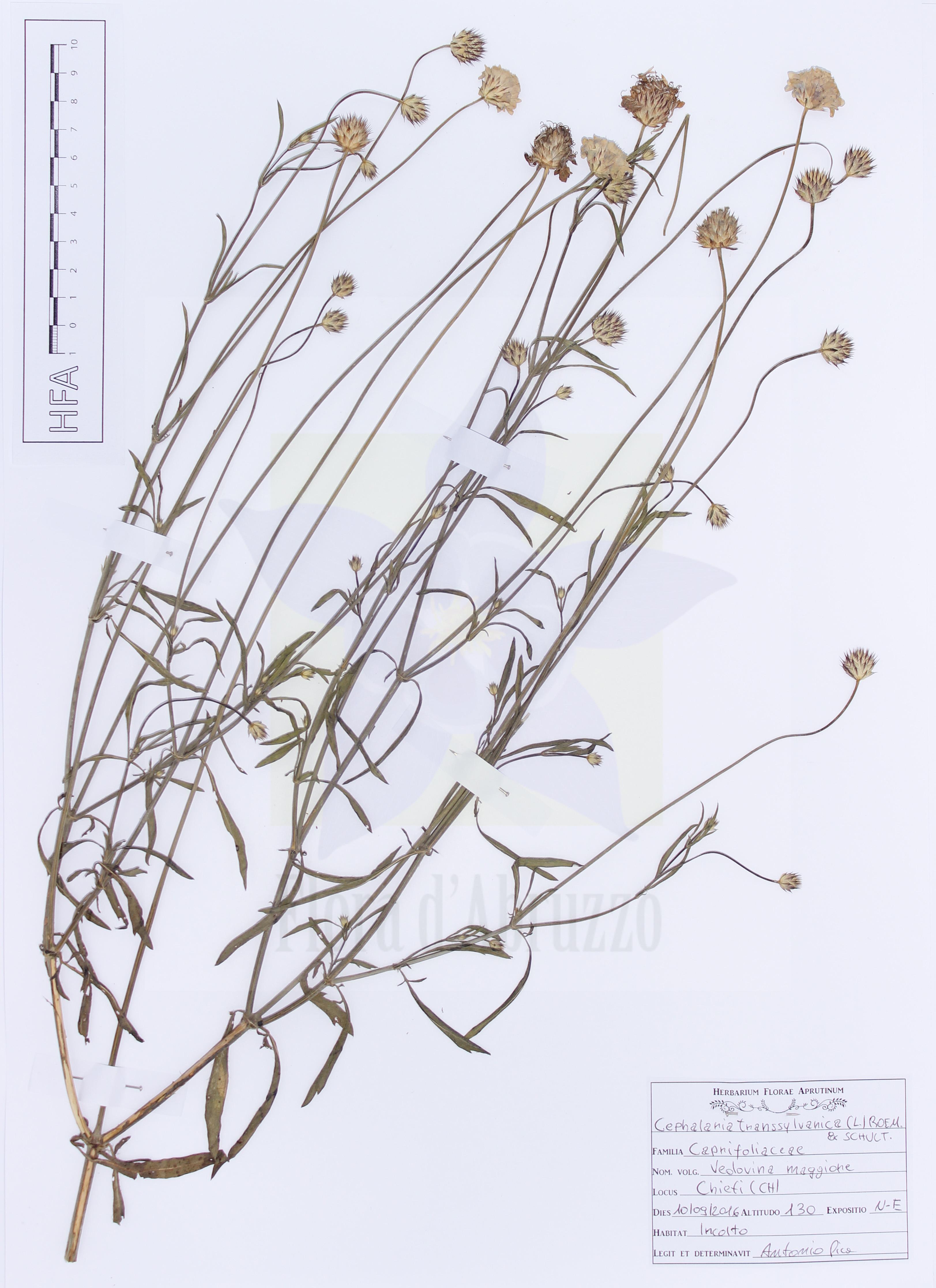 Cephalaria transsylvanica(L.) Roem. & Schult.
