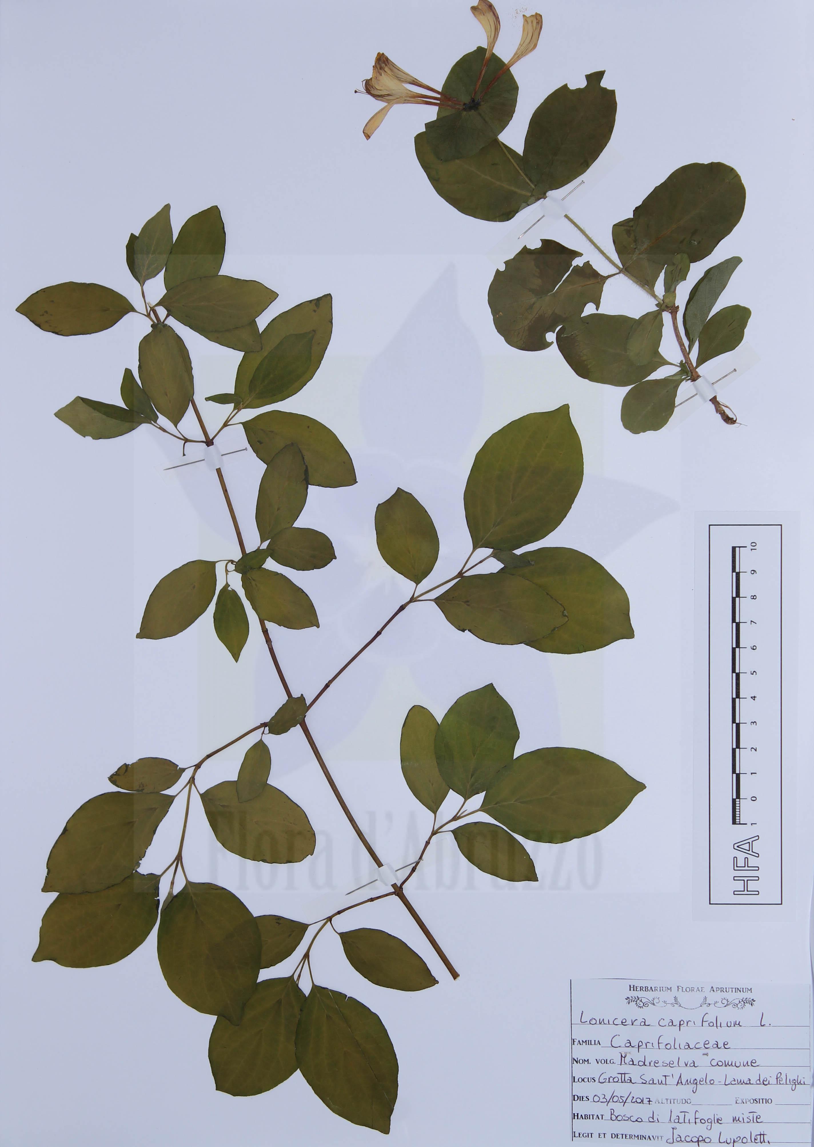 Lonicera caprifolium L.