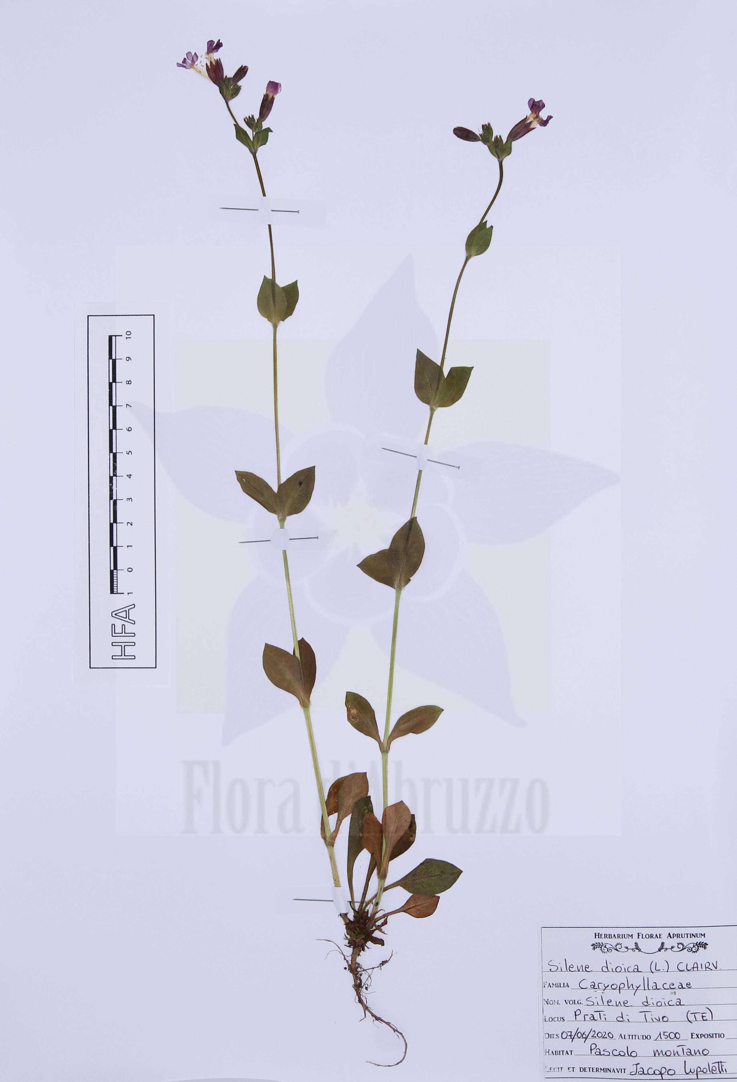 Silene dioica(L.) Clairv.