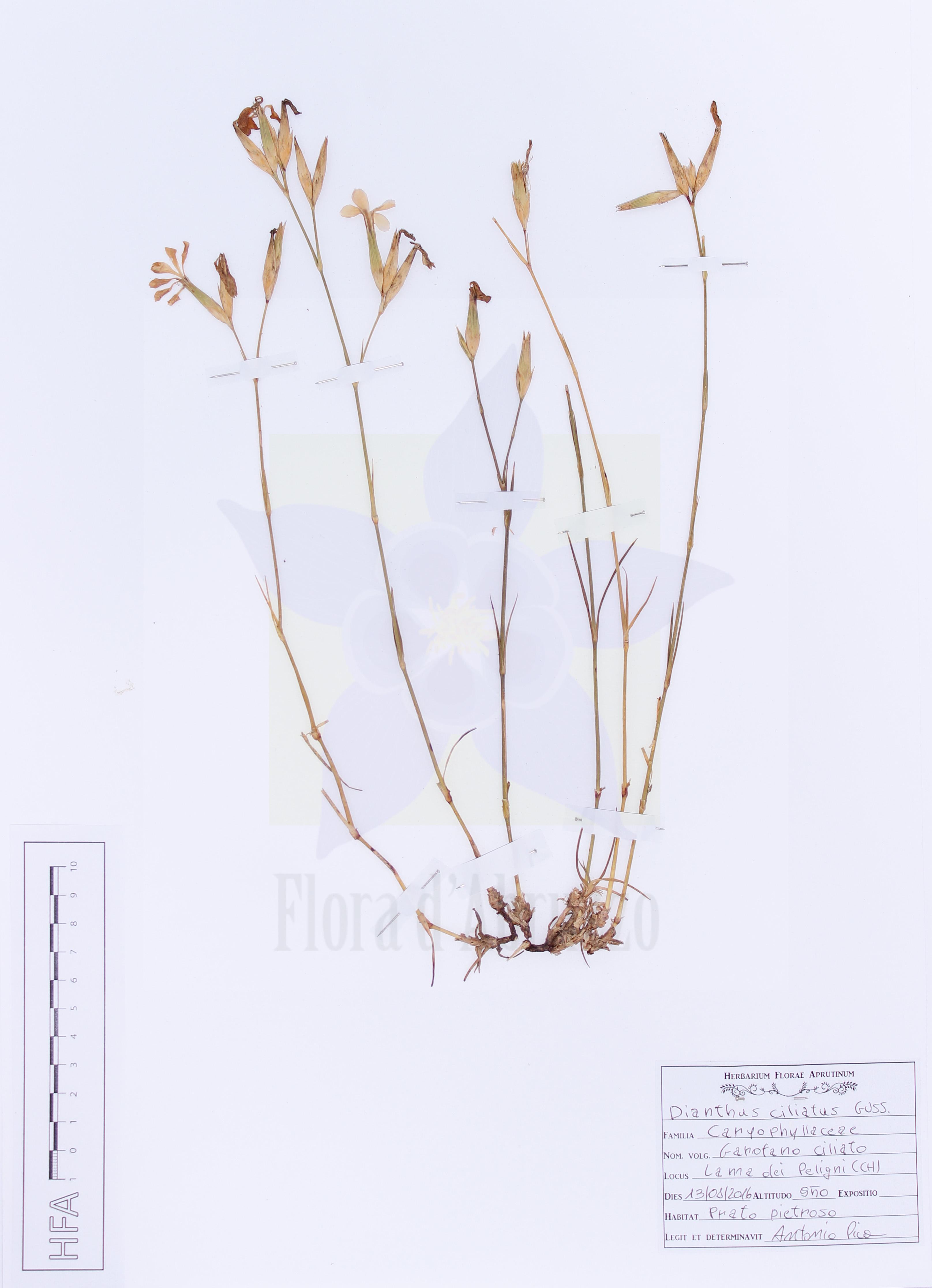 Dianthus ciliatus Guss.