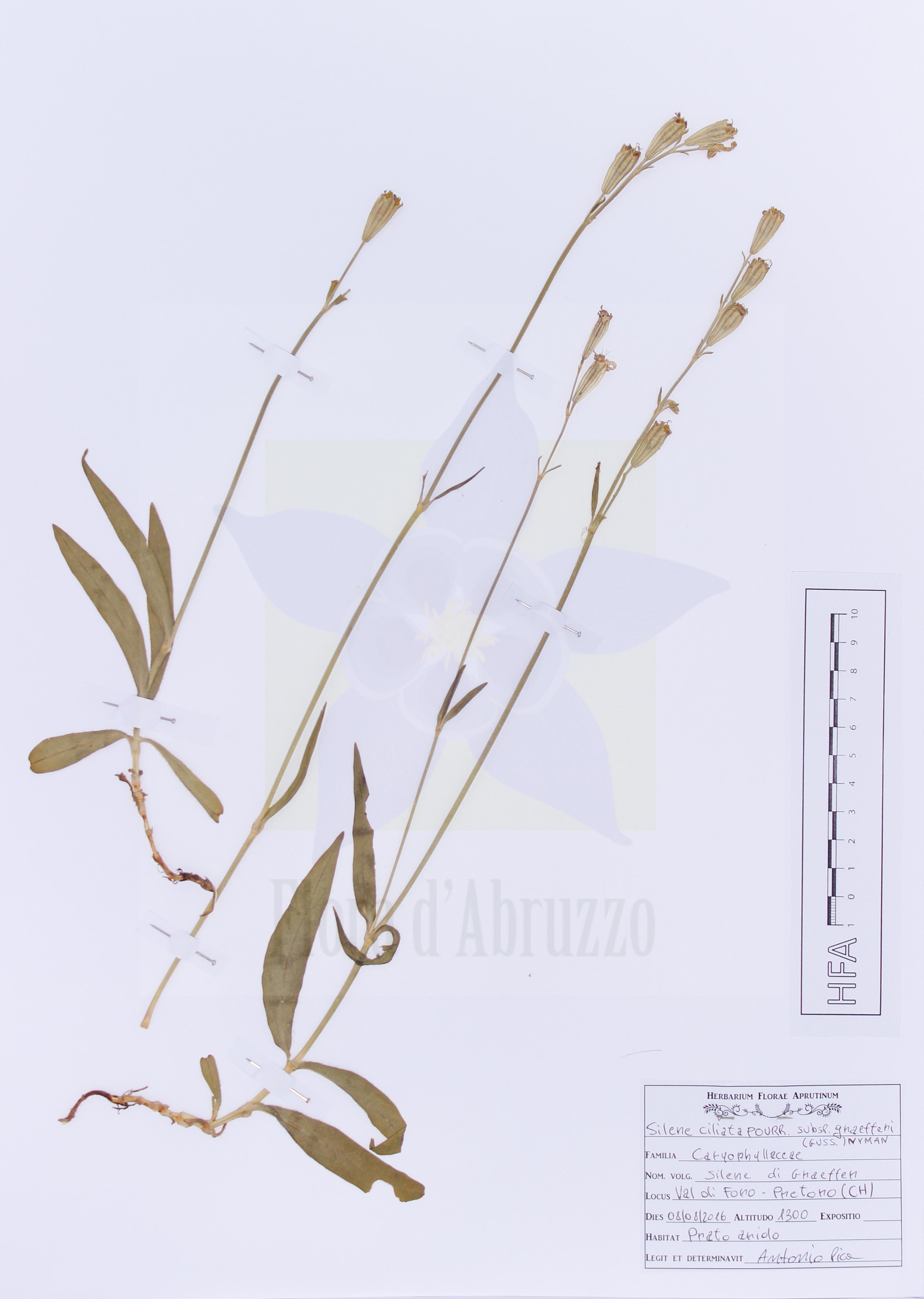 Silene ciliata Pourr. subsp. graefferi (Guss.) Nyman