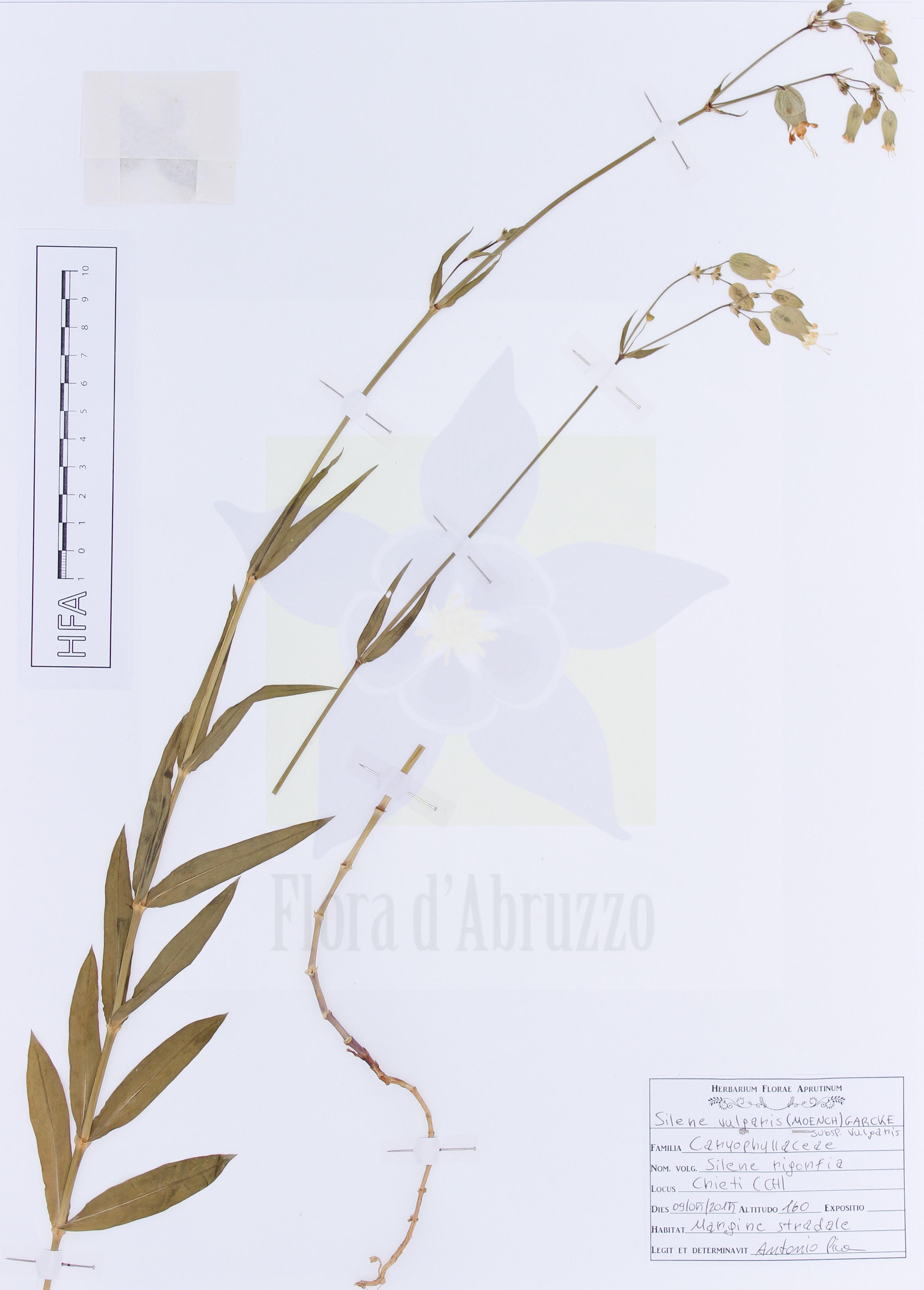Silene vulgaris(Moench) Garcke subsp.vulgaris