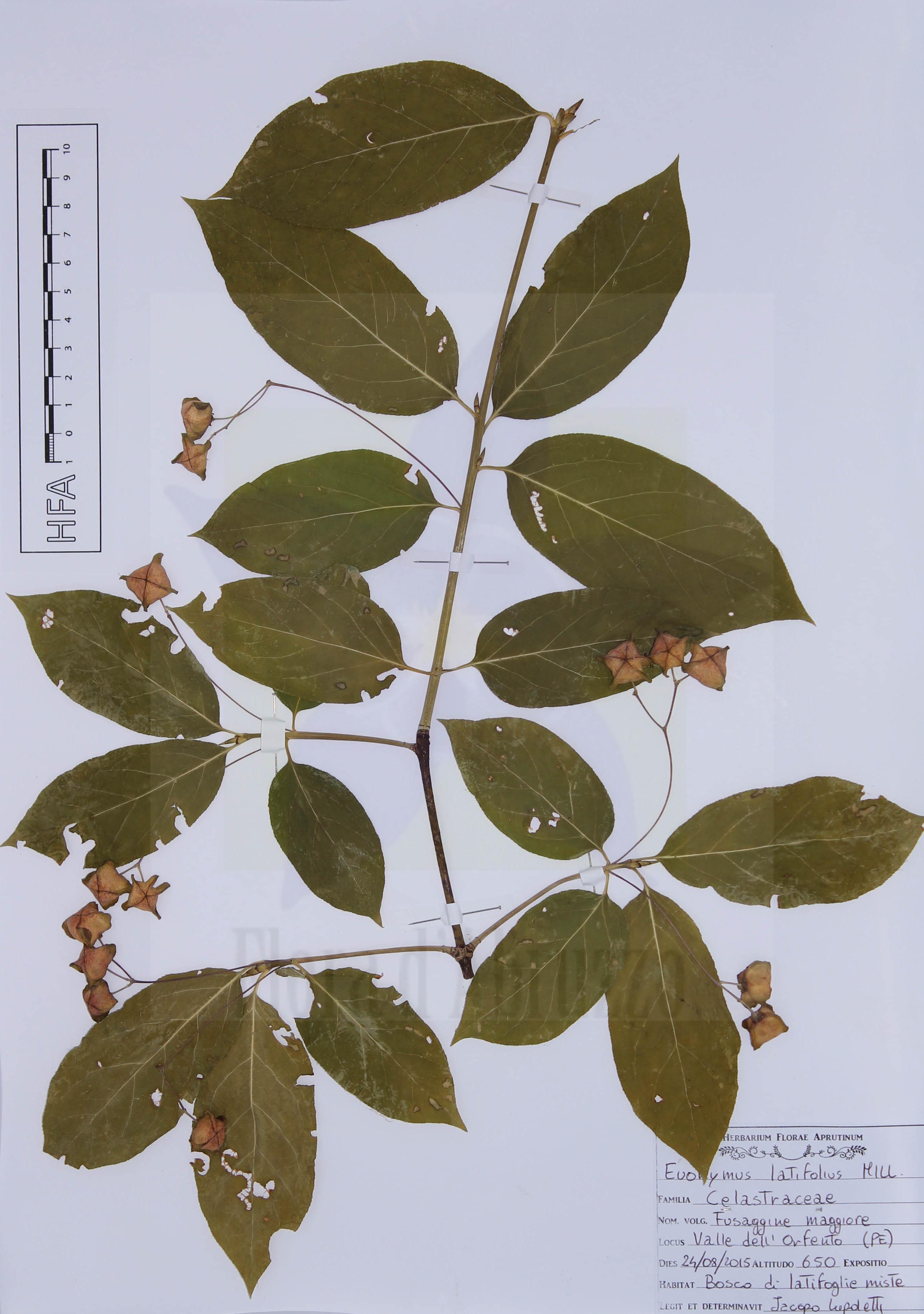 Euonymus latifolius Mill.