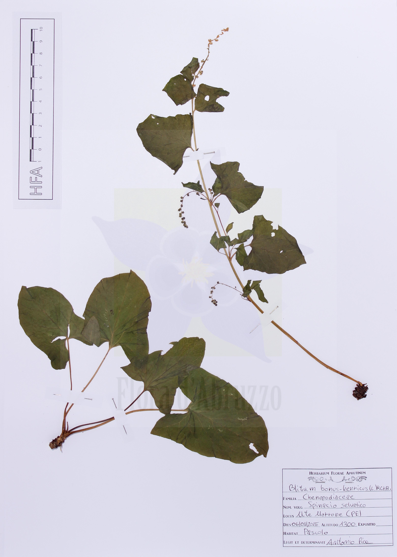 Blitum bonus-henricus(L.) Rchb.