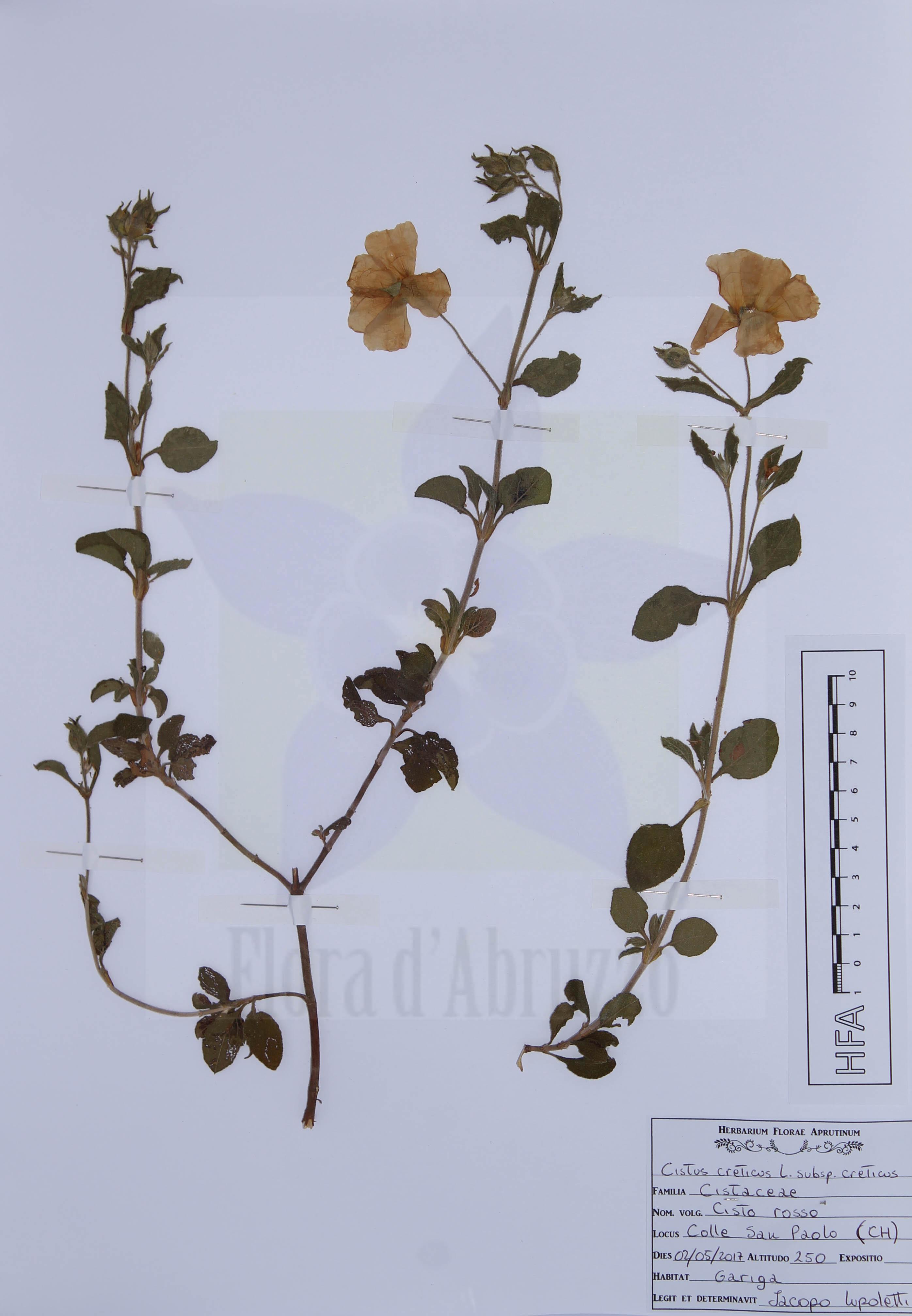 Cistus creticus L. subps. creticus