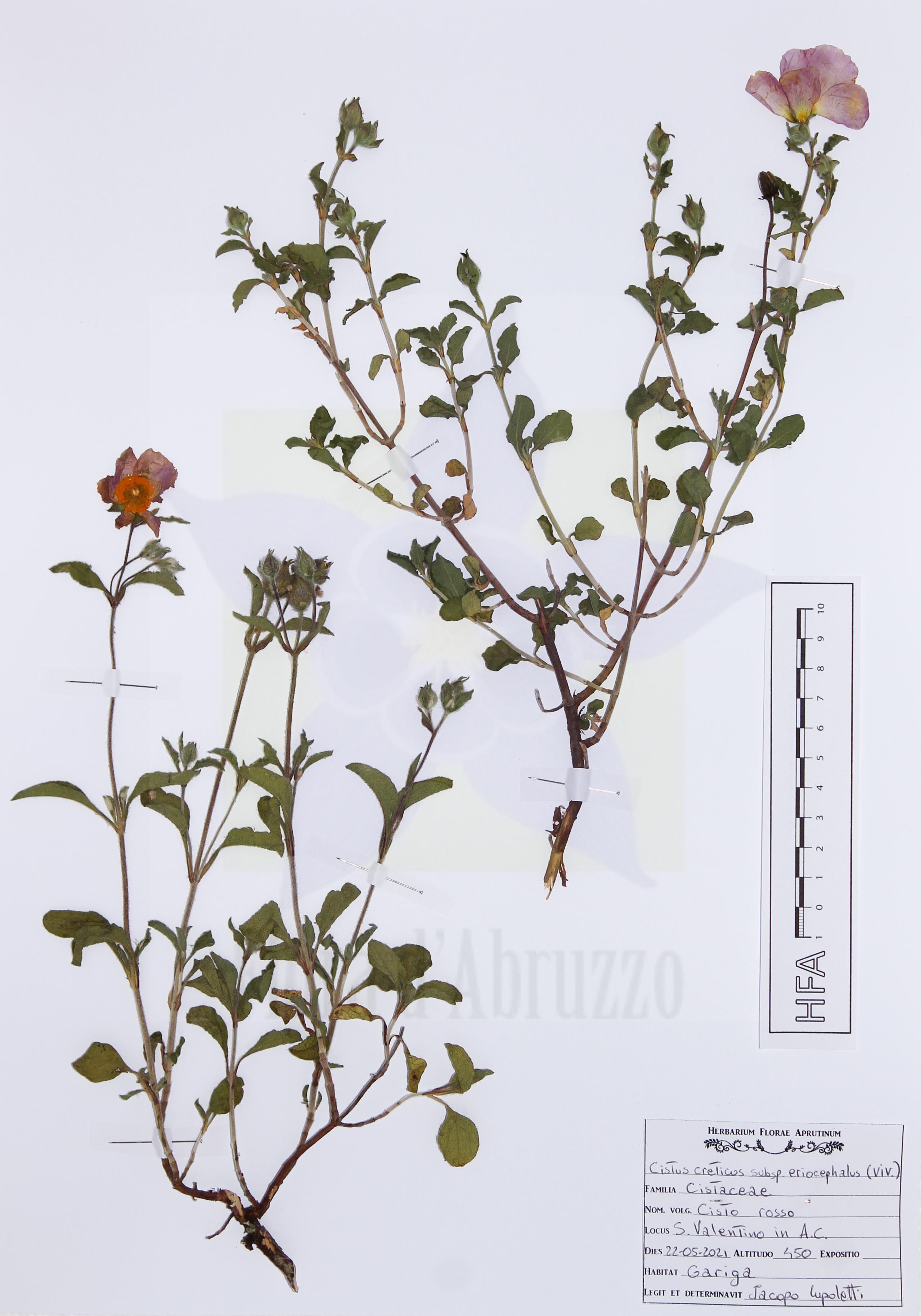 Cistus creticus subsp. eriocephalus (Viv.) Greuter & Burdet