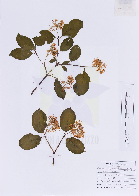 Cornus sanguinea L. subsp. hungarica (Kárpáti) Soó