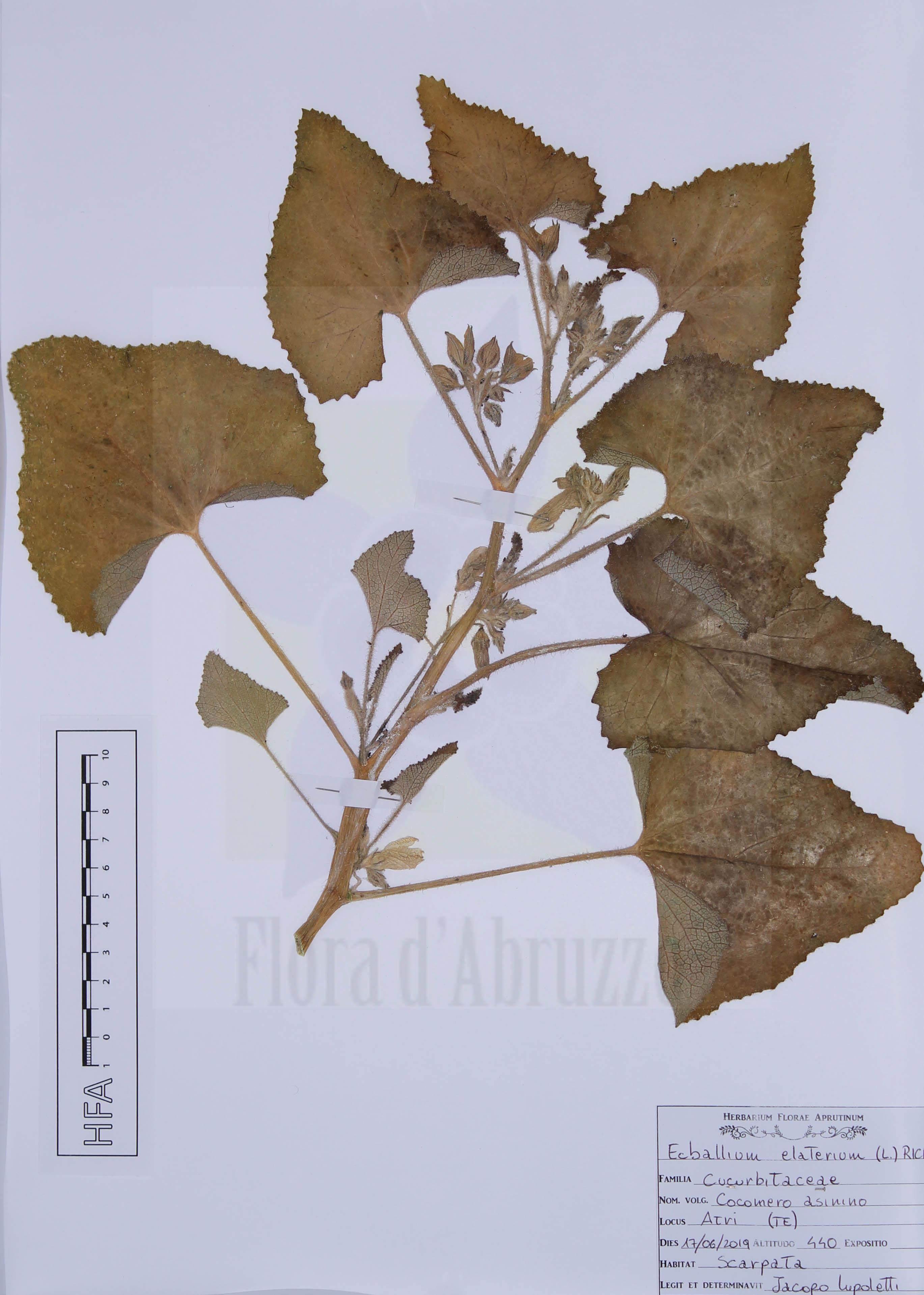 Ecballium elaterium (L.) A. Rich.