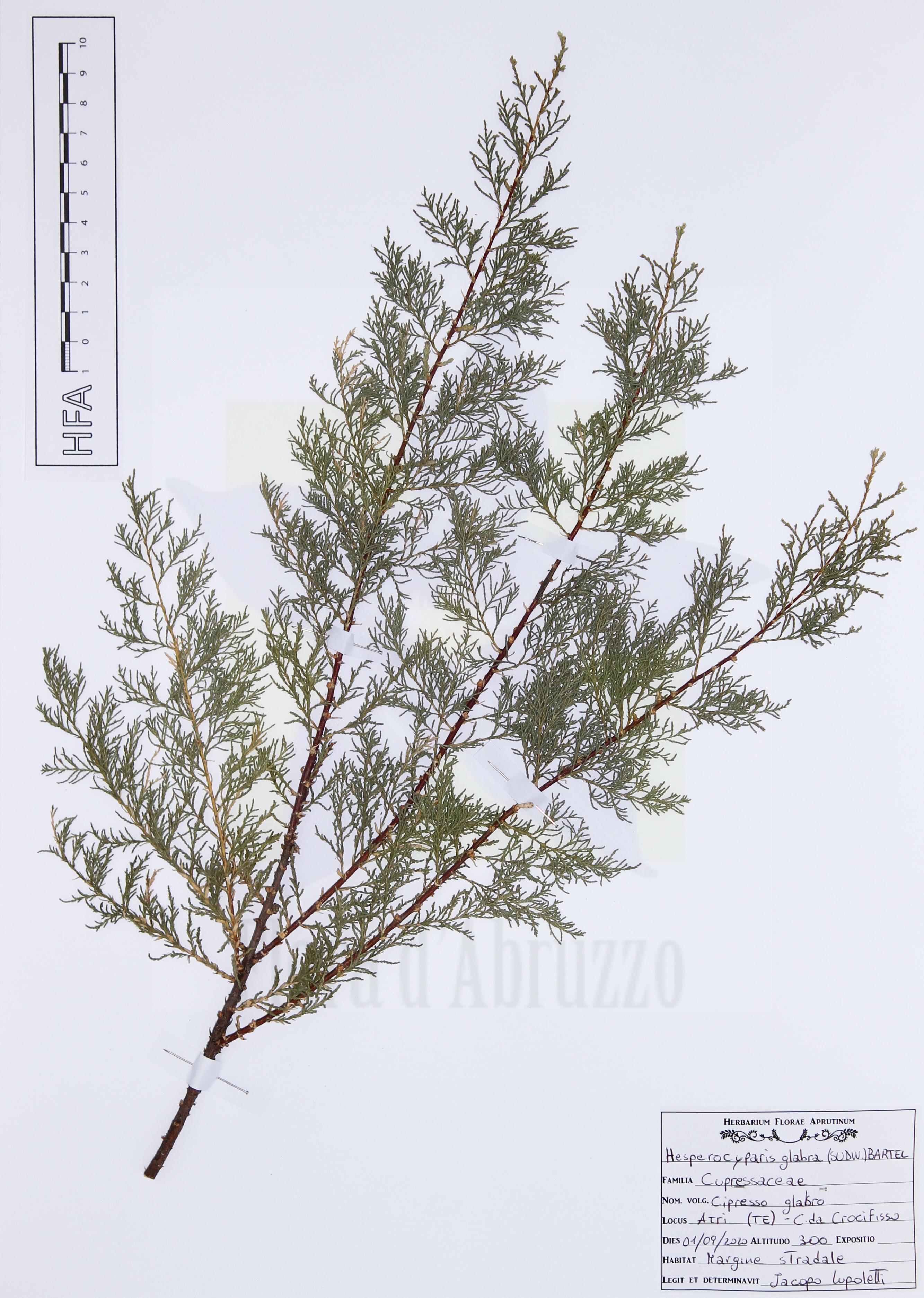 Hesperocyparis glabra(Sudw.) Bartel