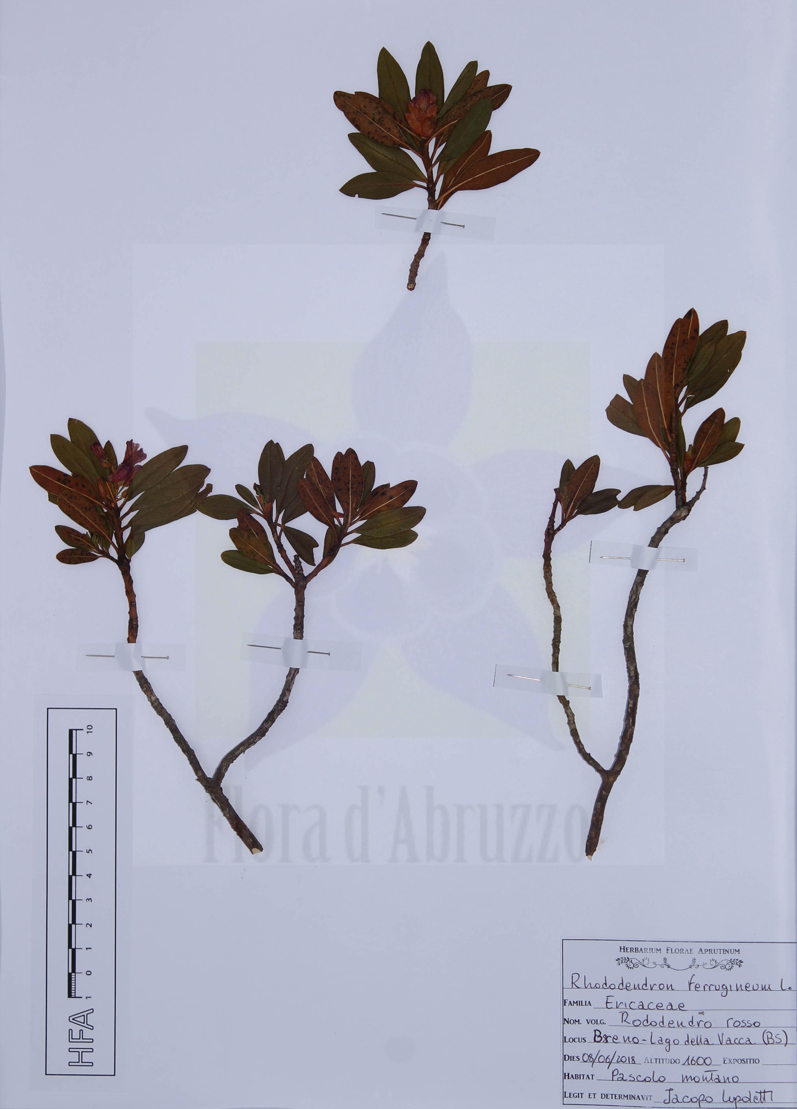 Rhododendron ferrigineum L.