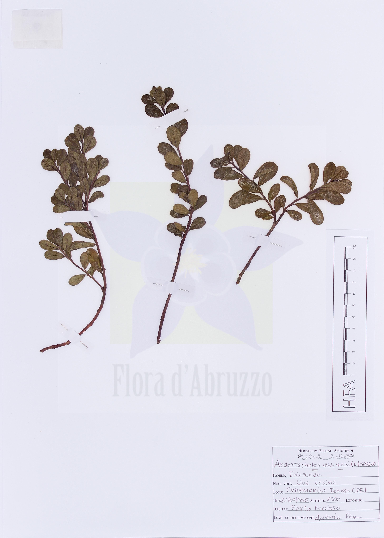 Arctostaphylos uva-ursi(L.) Spreng.