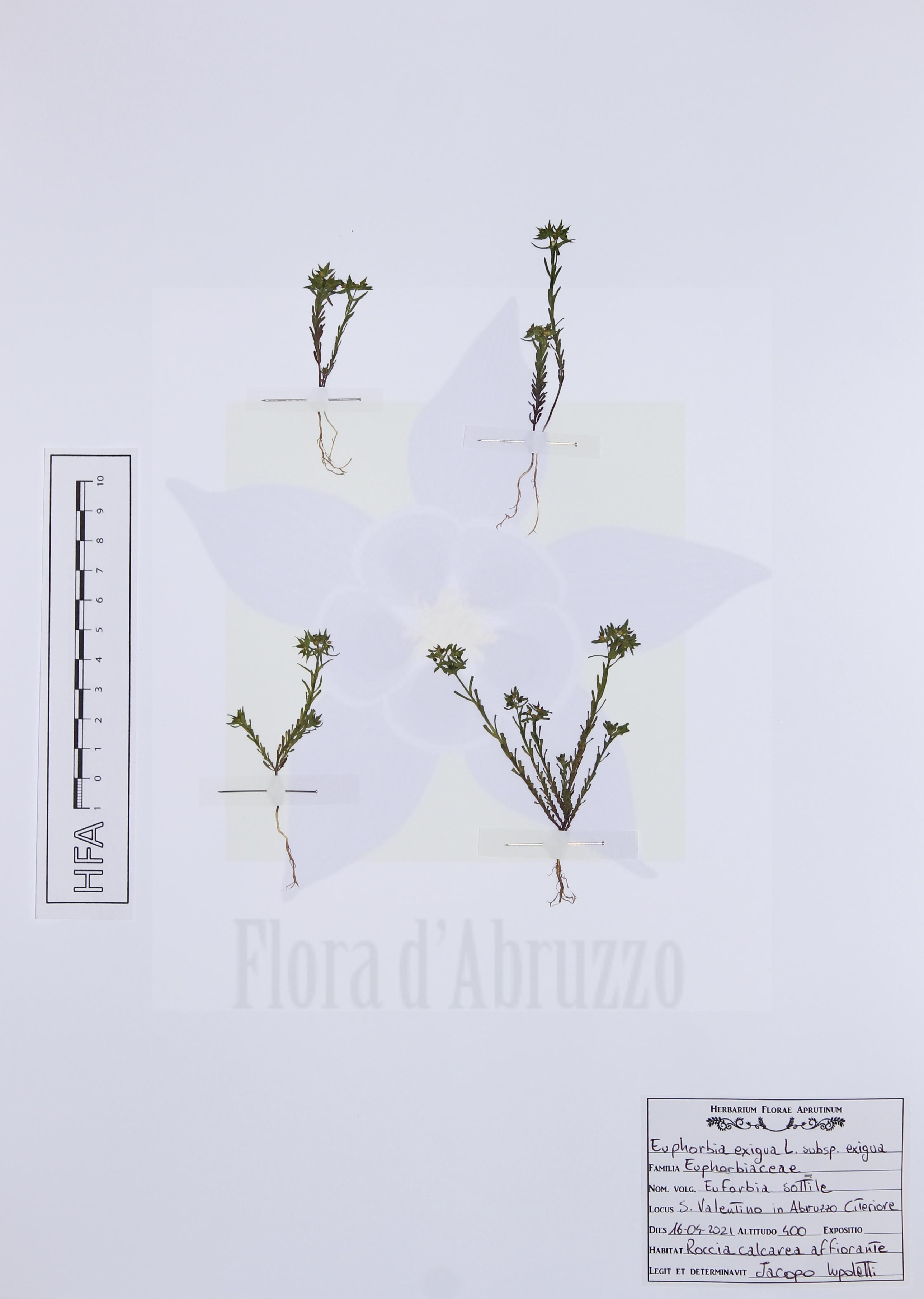 Euphorbia exigua L. subsp. exigua