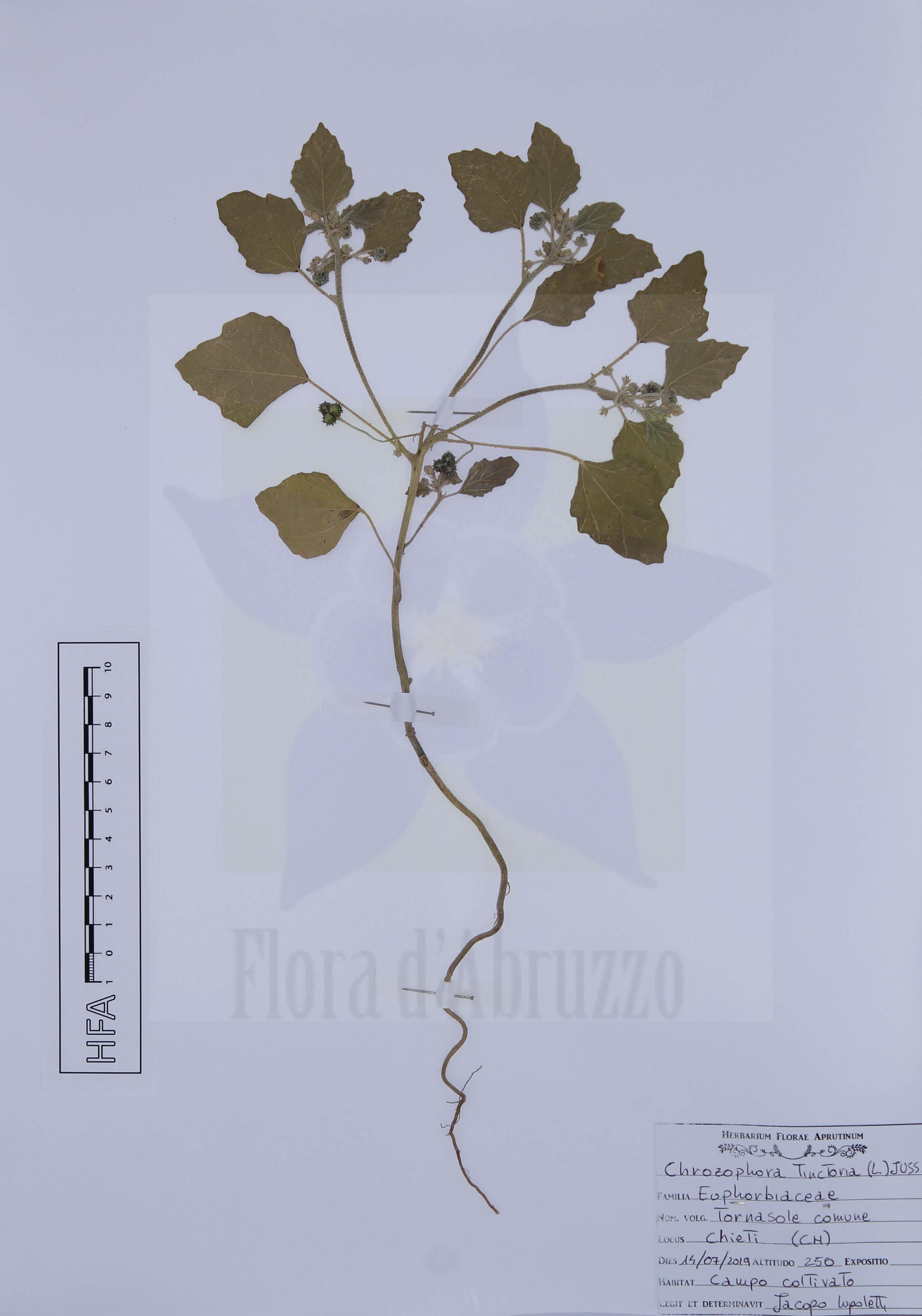 Chrozophora tinctoria (L.) A. Juss.