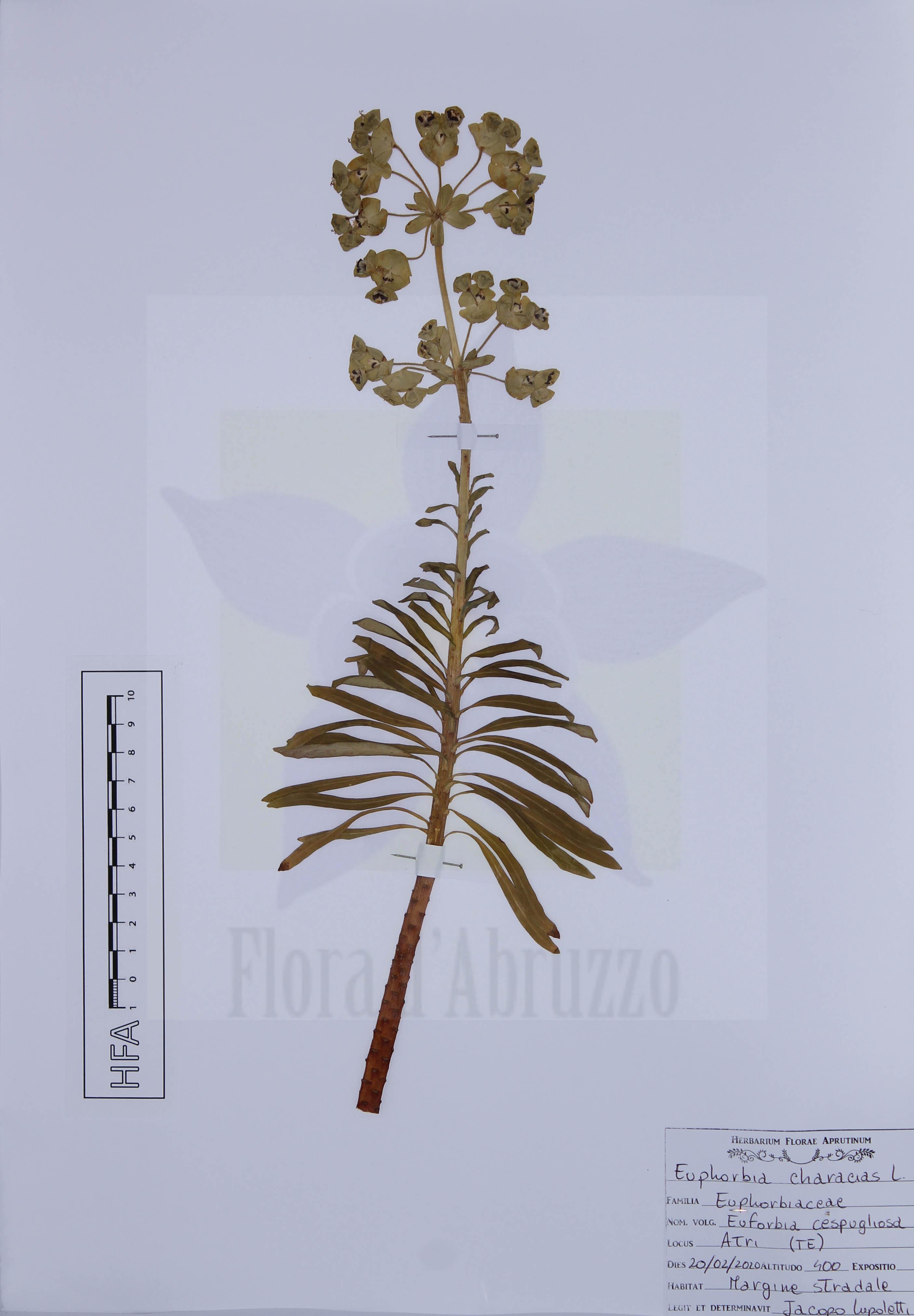 Euphorbia characias L.
