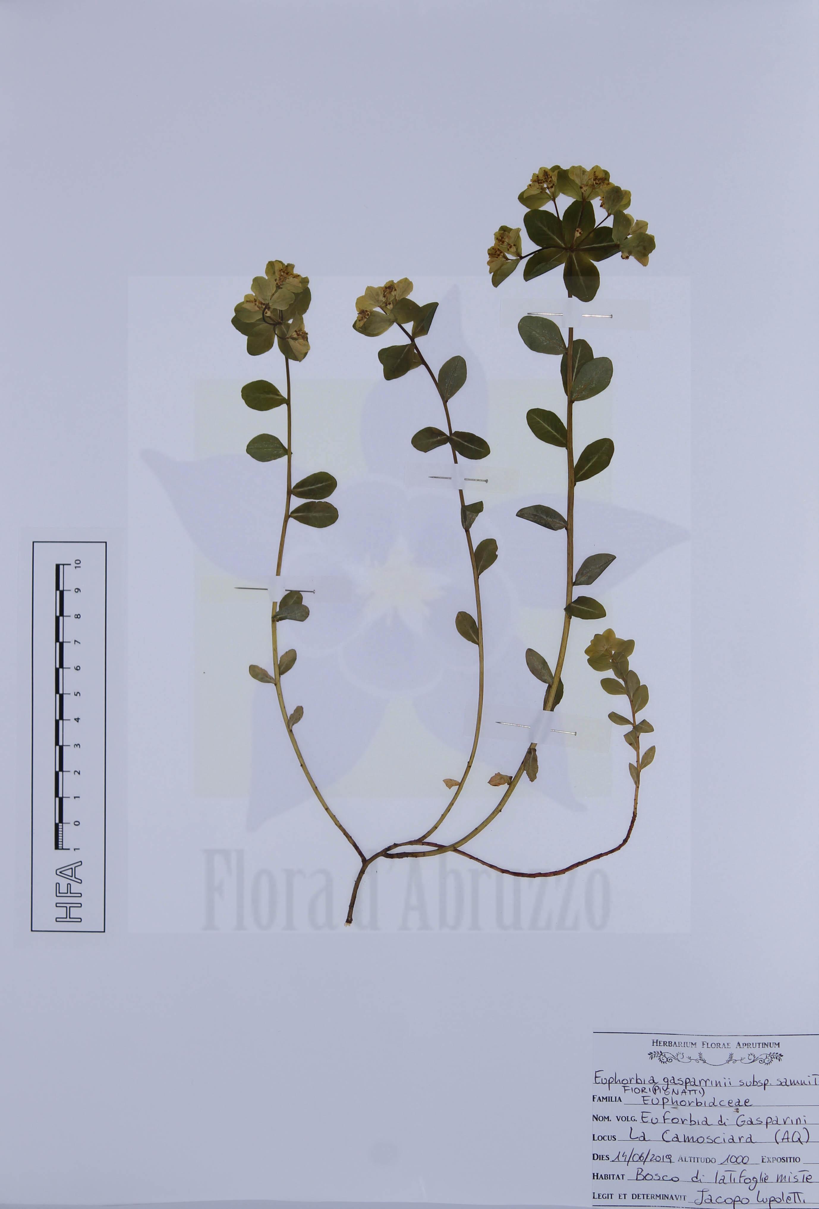 Euphorbia gasparriniisubsp.samnitica(Fiori) Pignatti