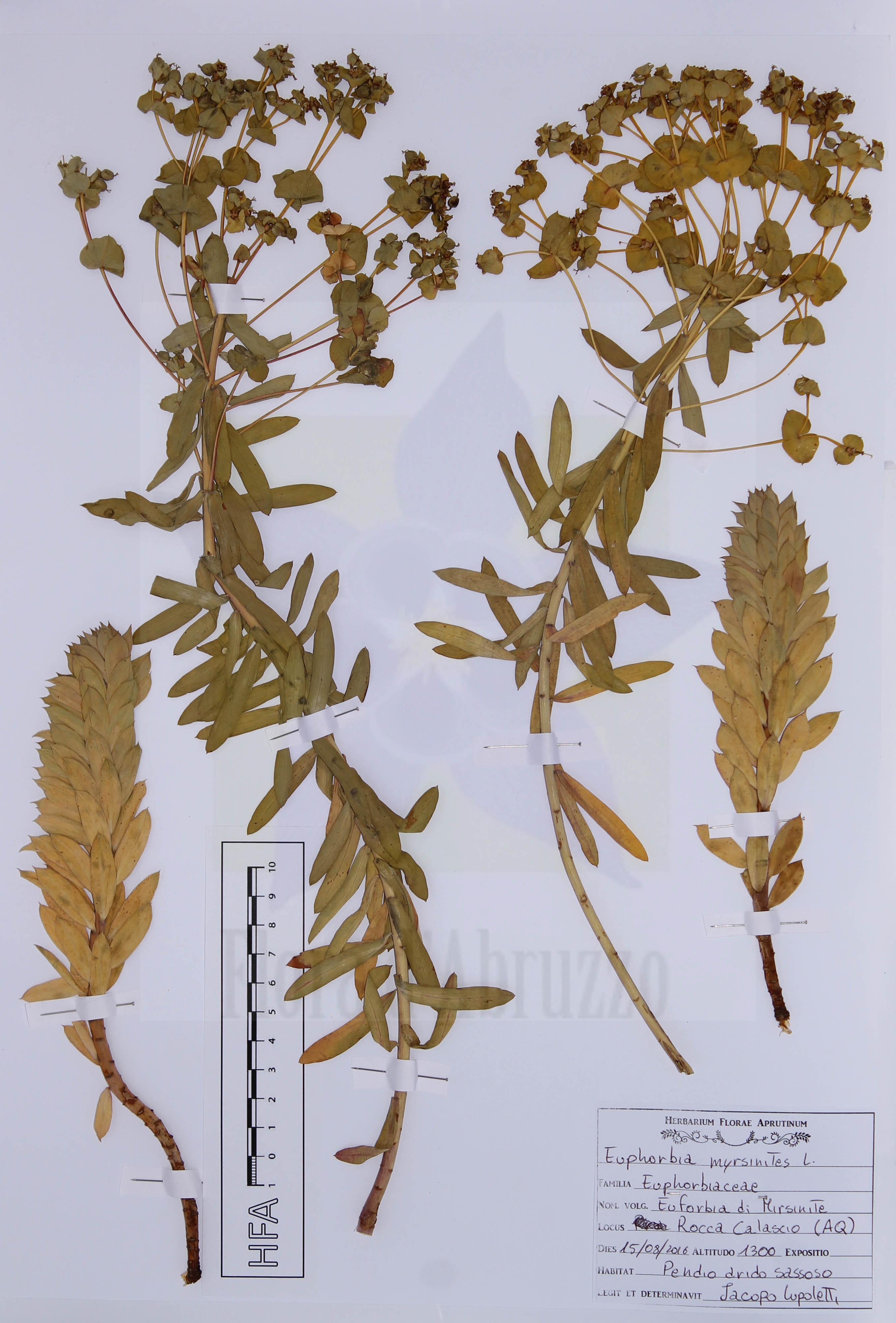 Euphorbia myrsinites L.