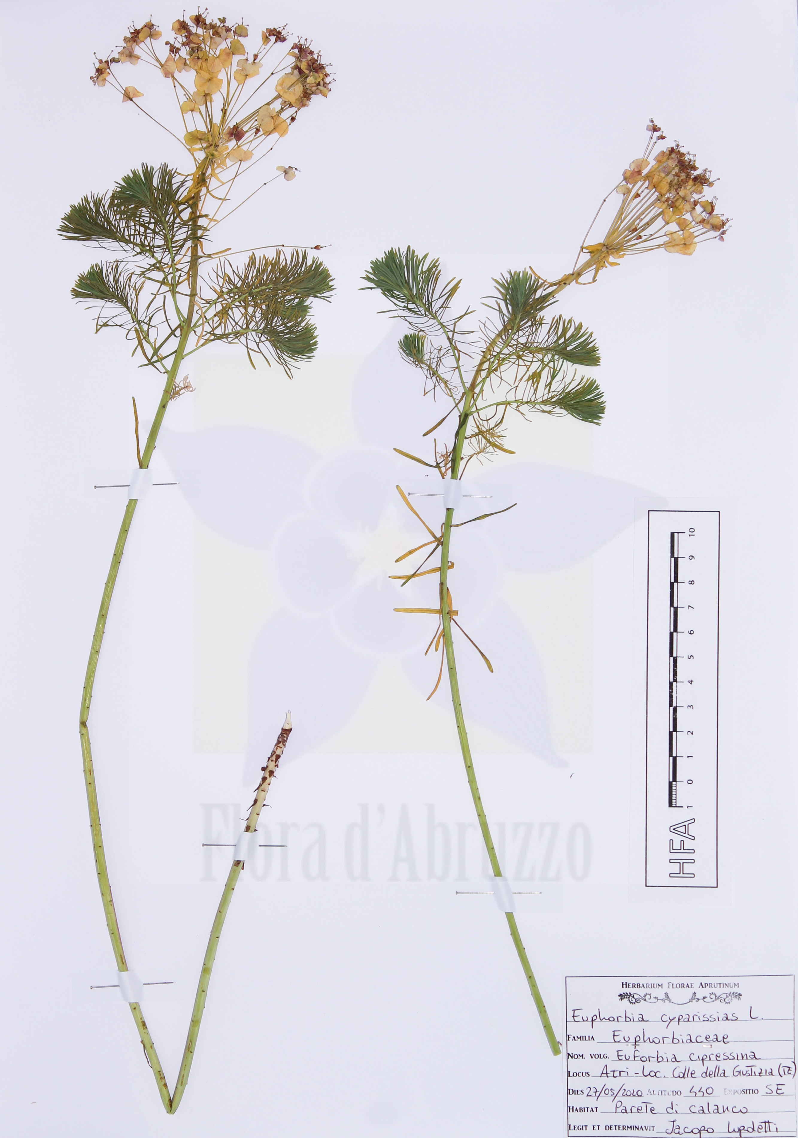Euphorbia cyparissiasL.