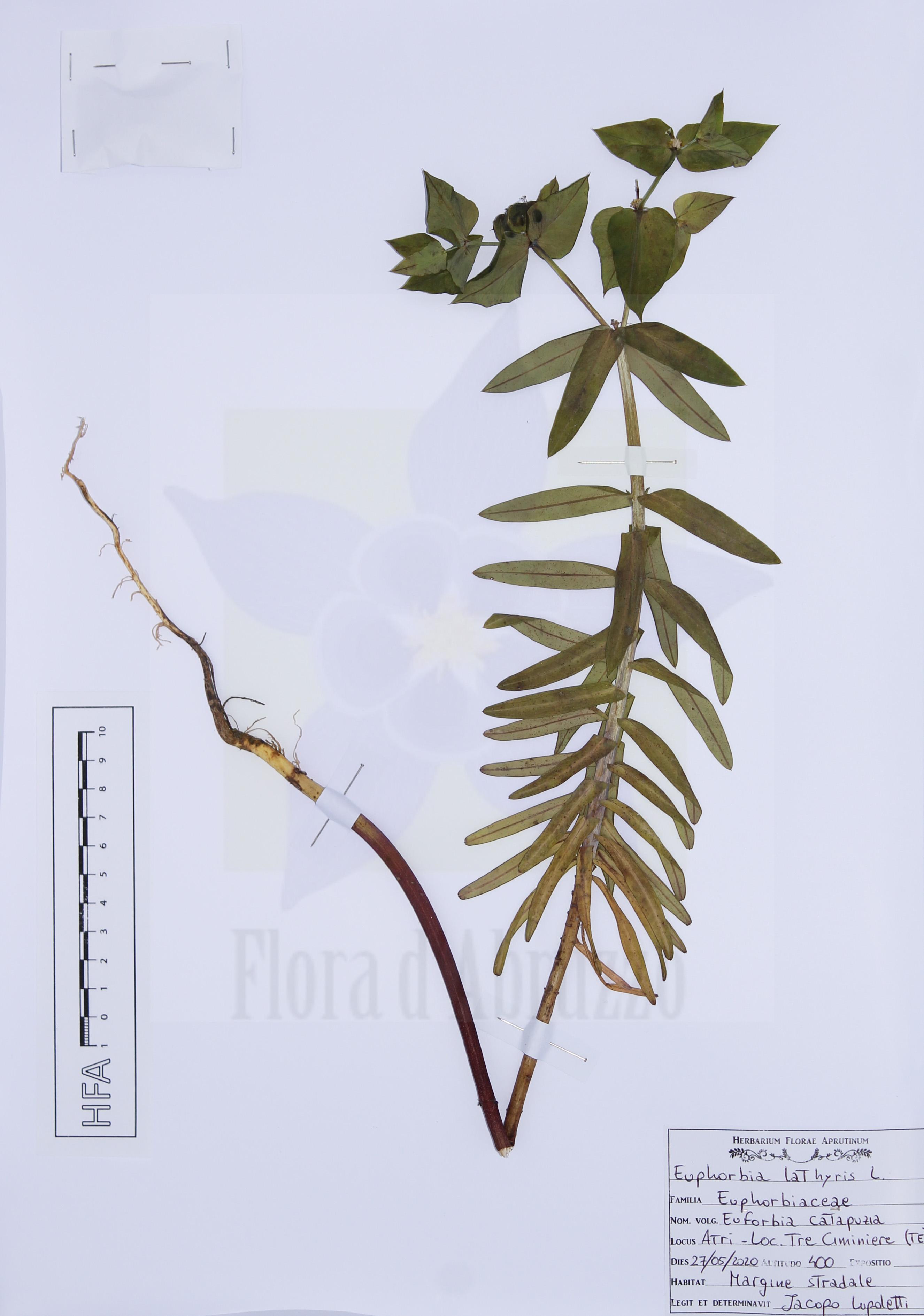 Euphorbia lathyrisL.