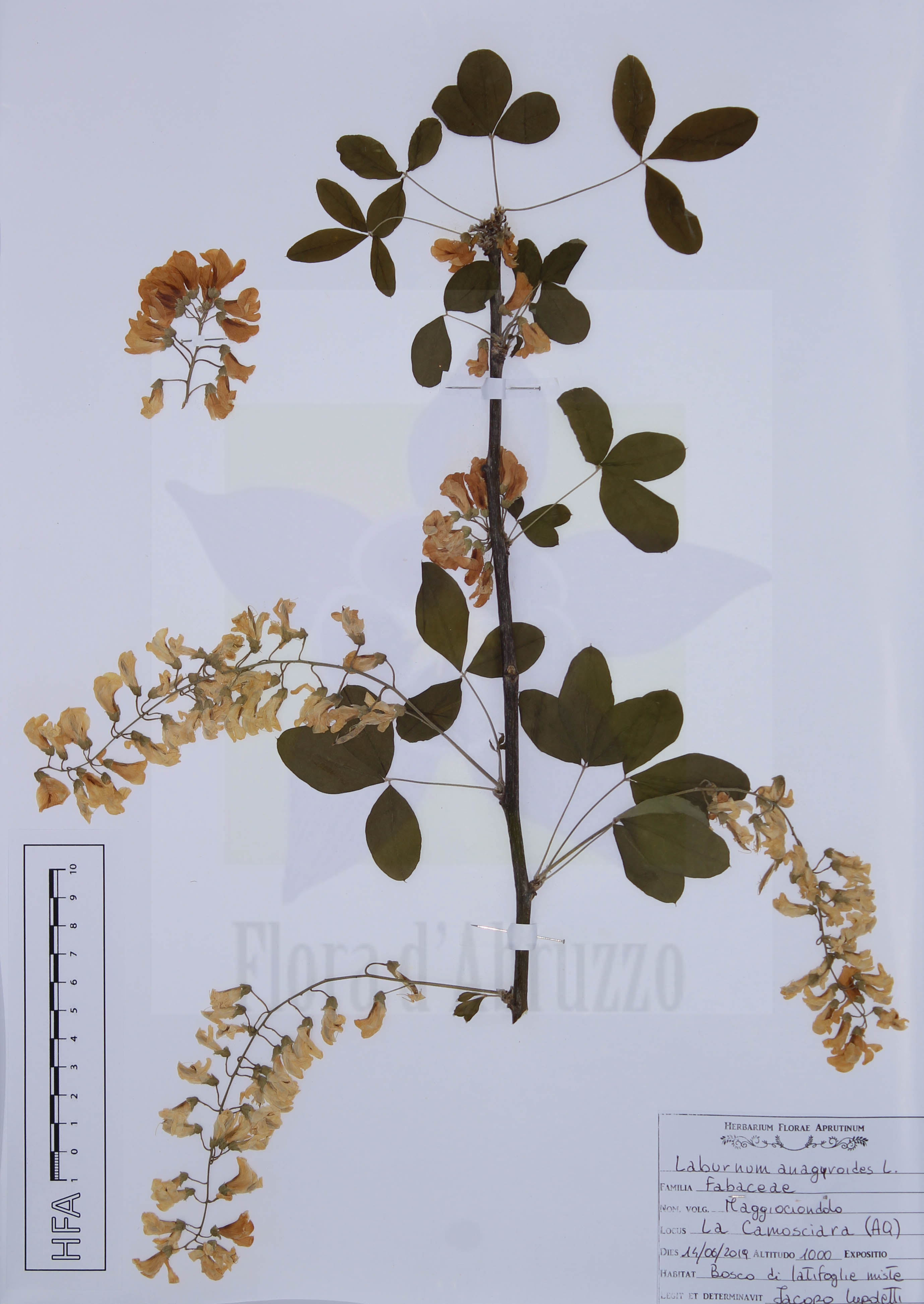 Laburnum anagyroides L.