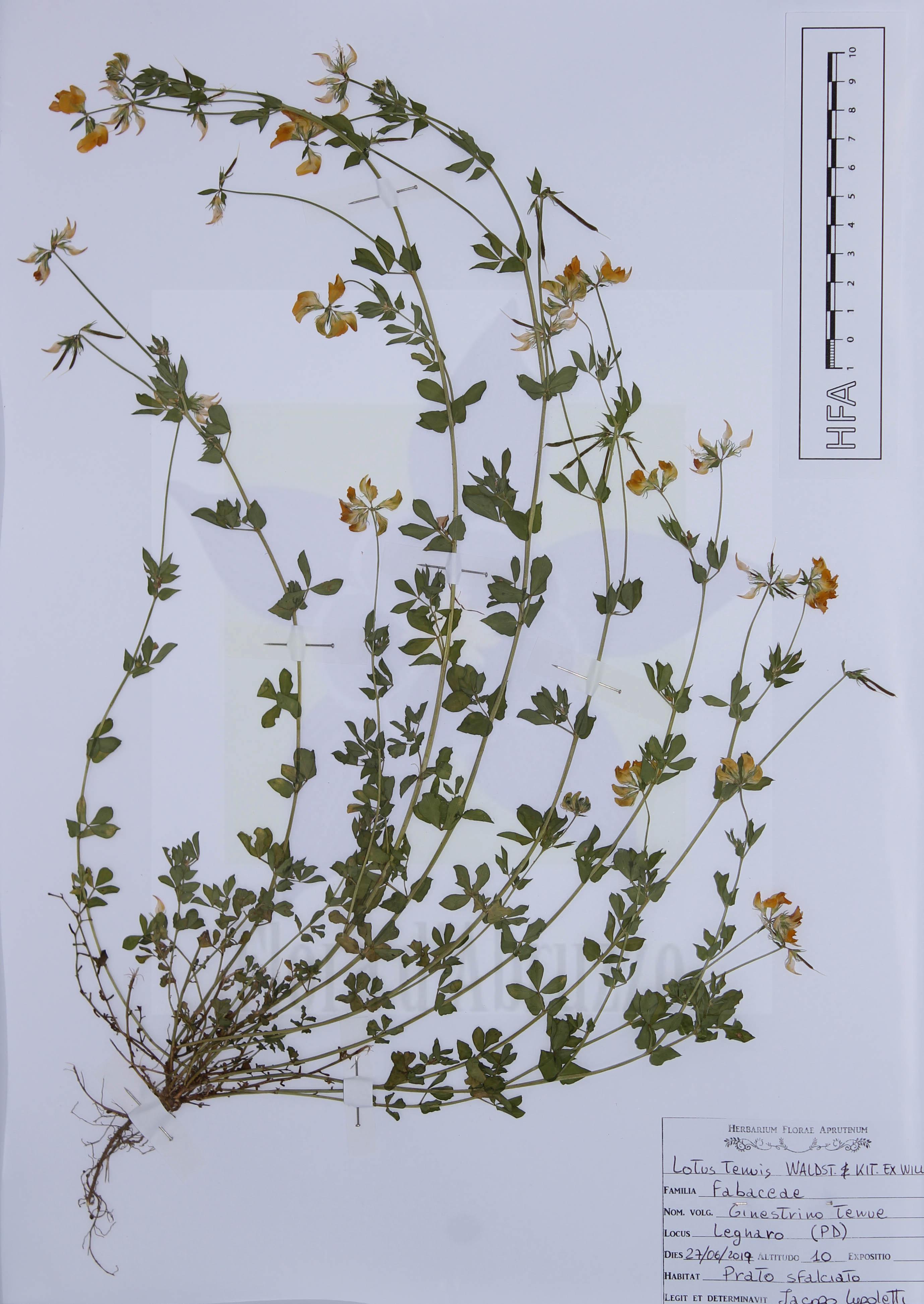 Lotus tenuis Waldst. & Kit. ex Willd.