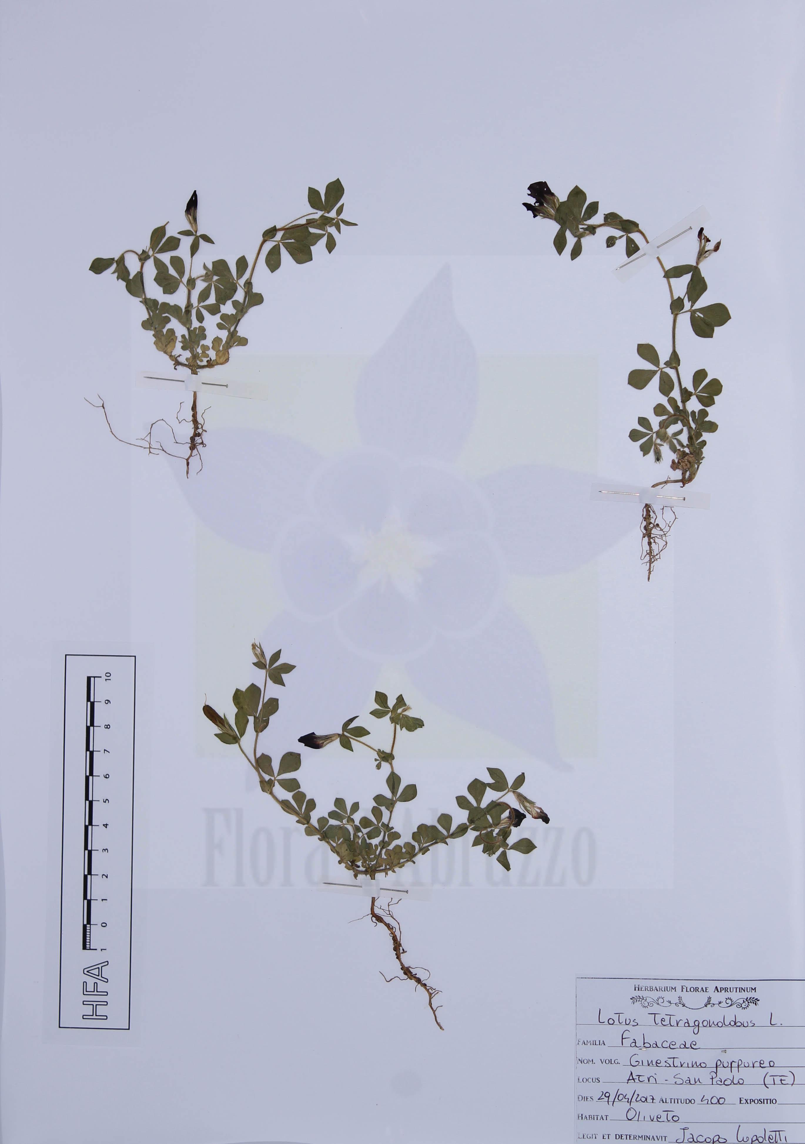 Lotus tetragonolobus L.