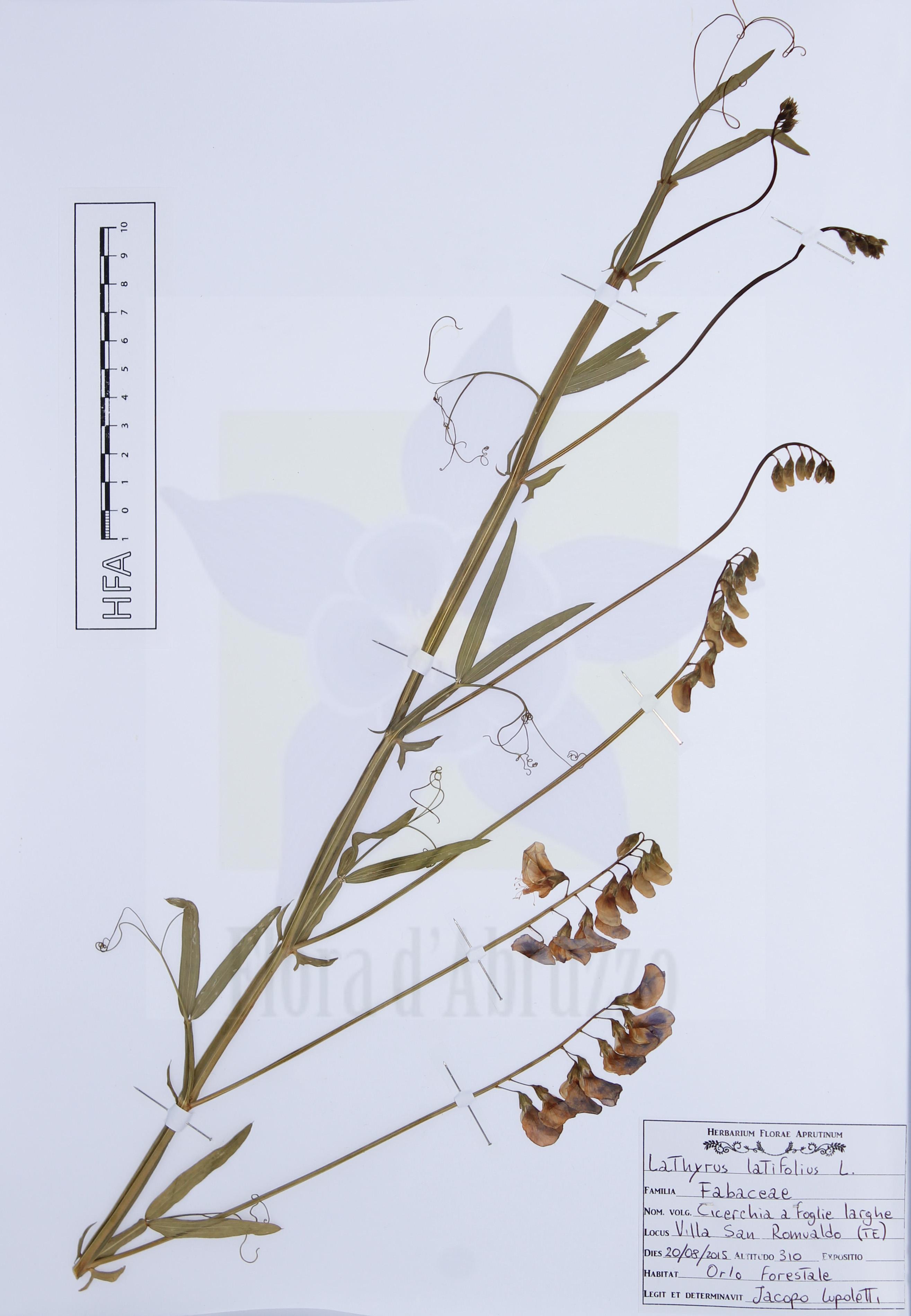 Lathyrus latifoliusL.