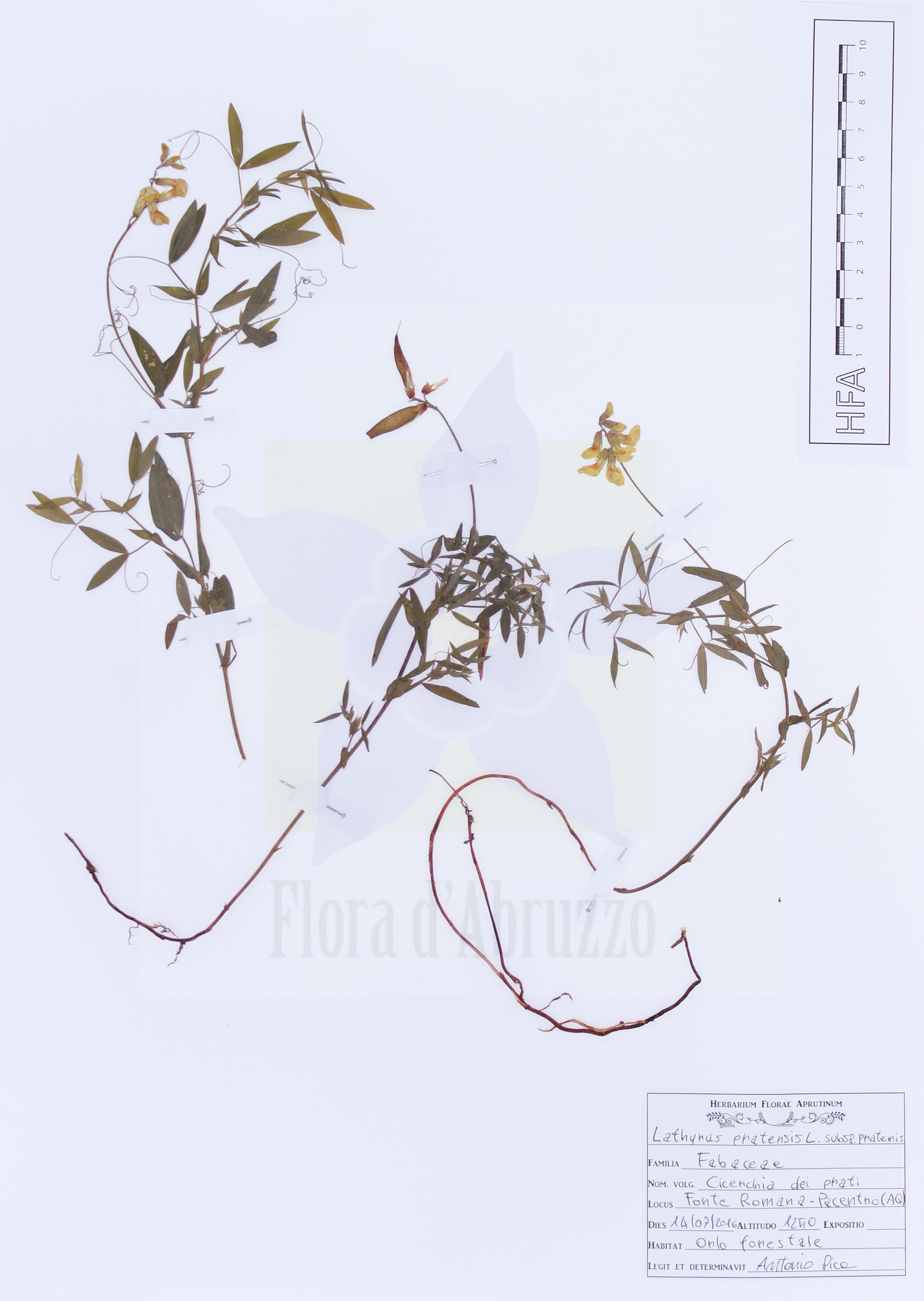 Lathyrus pratensis L. susbp. Pratensis